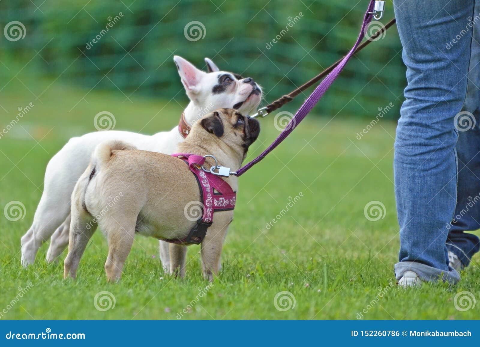 被引导的短在背景中讨好在皮带的哈巴狗狗有白色法国牛头犬的