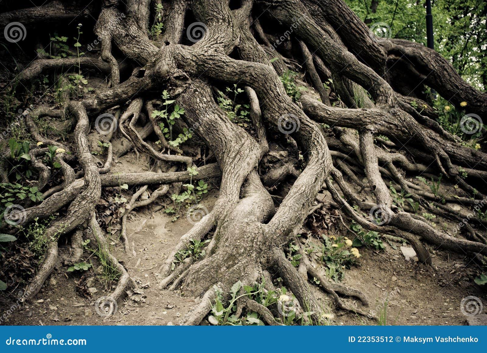 被扭转的老根结构树