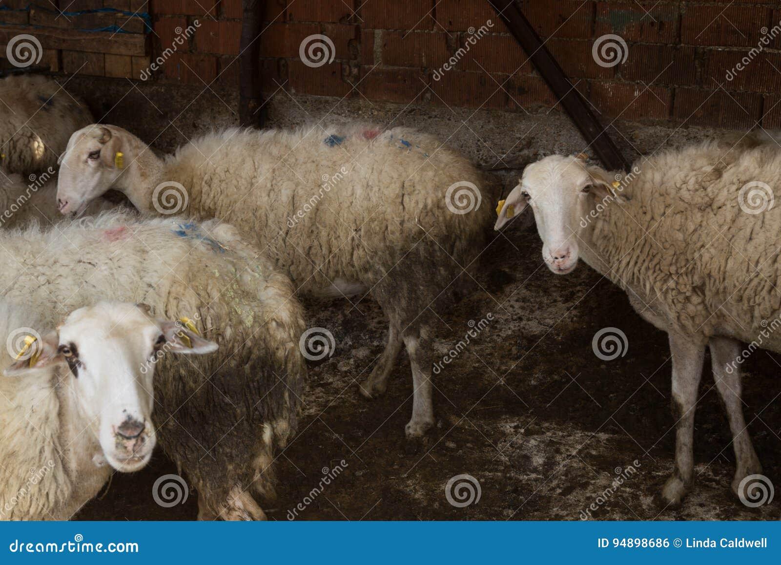 被挤作一团的绵羊群
