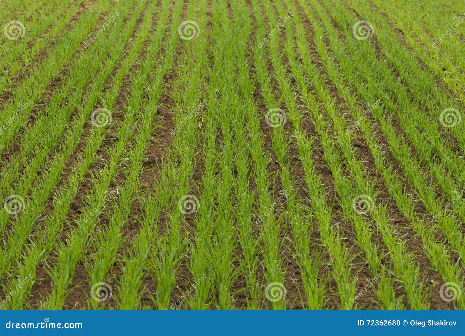被播种的农田