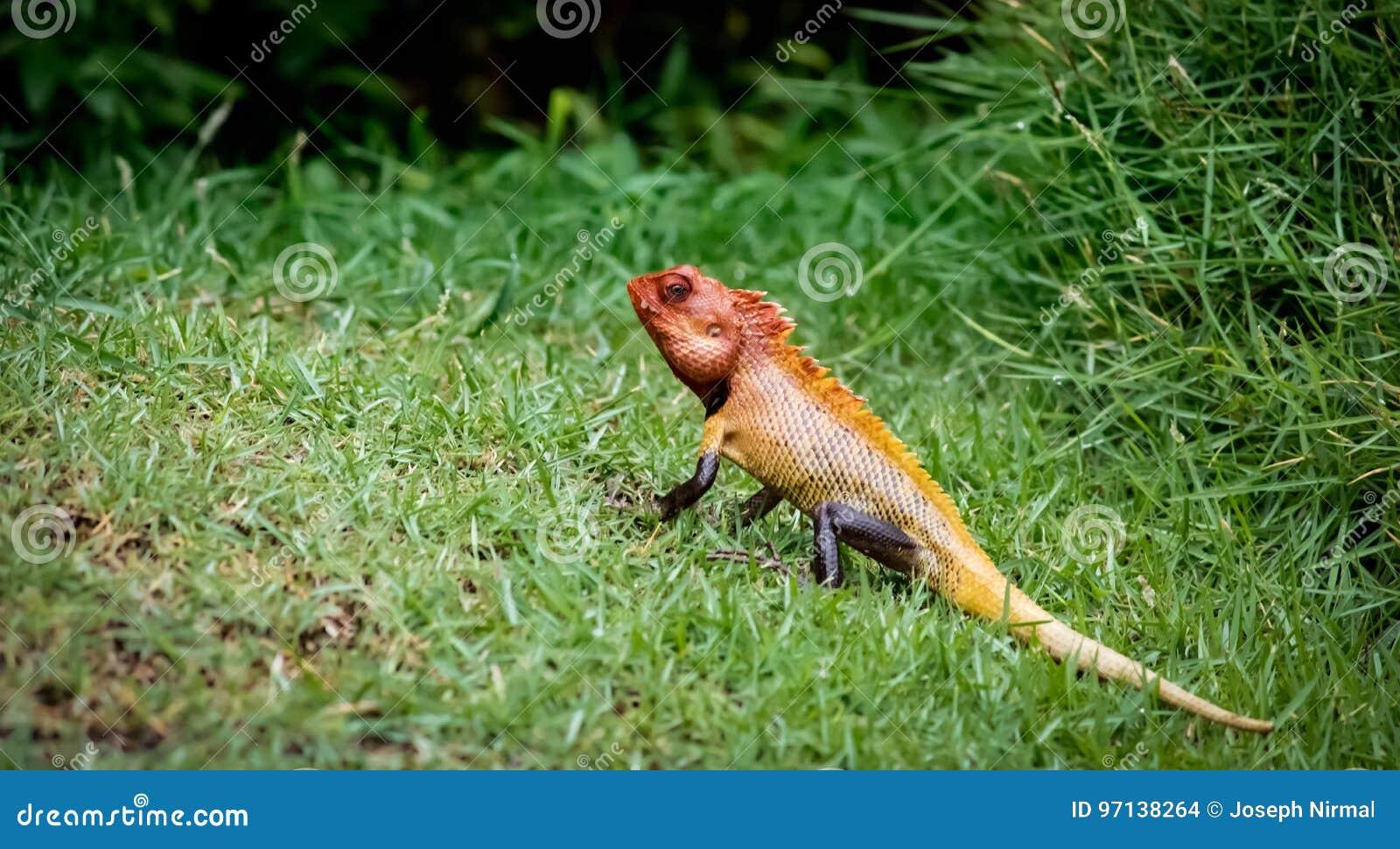 被显示的变色蜥蜴