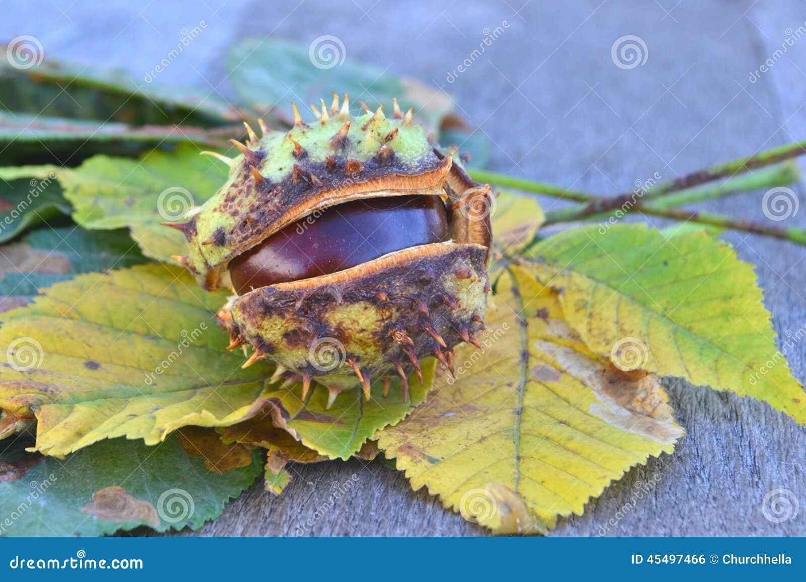 被染黄的槭树叶子和栗子