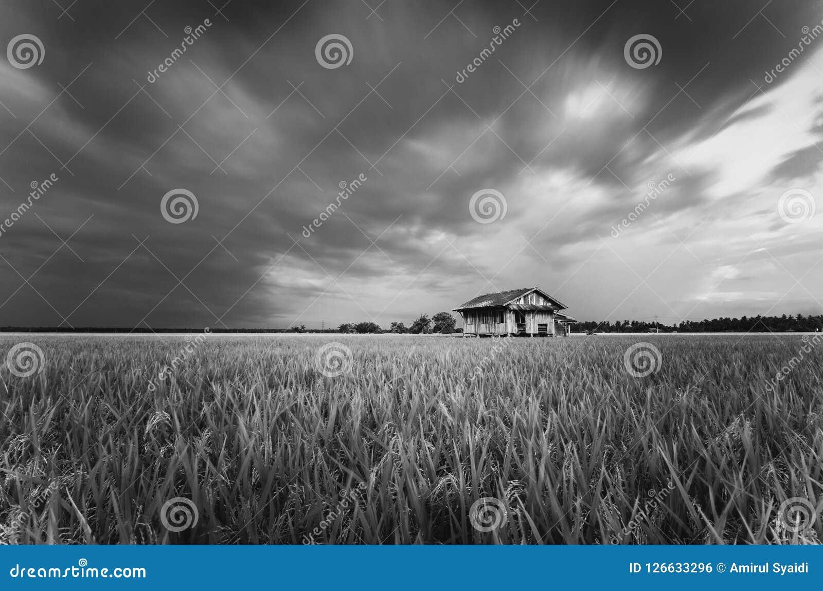 被毁坏的摒弃木房子周围的稻田