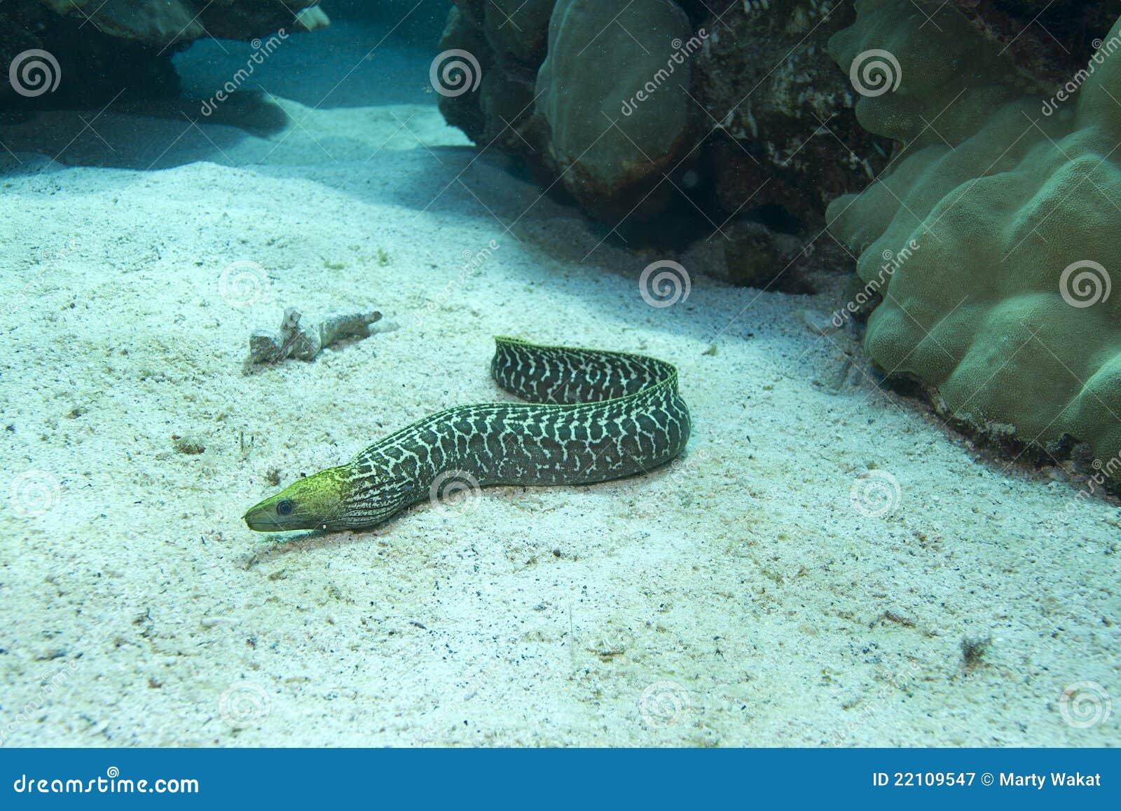 被波动的鳗鱼海鳗