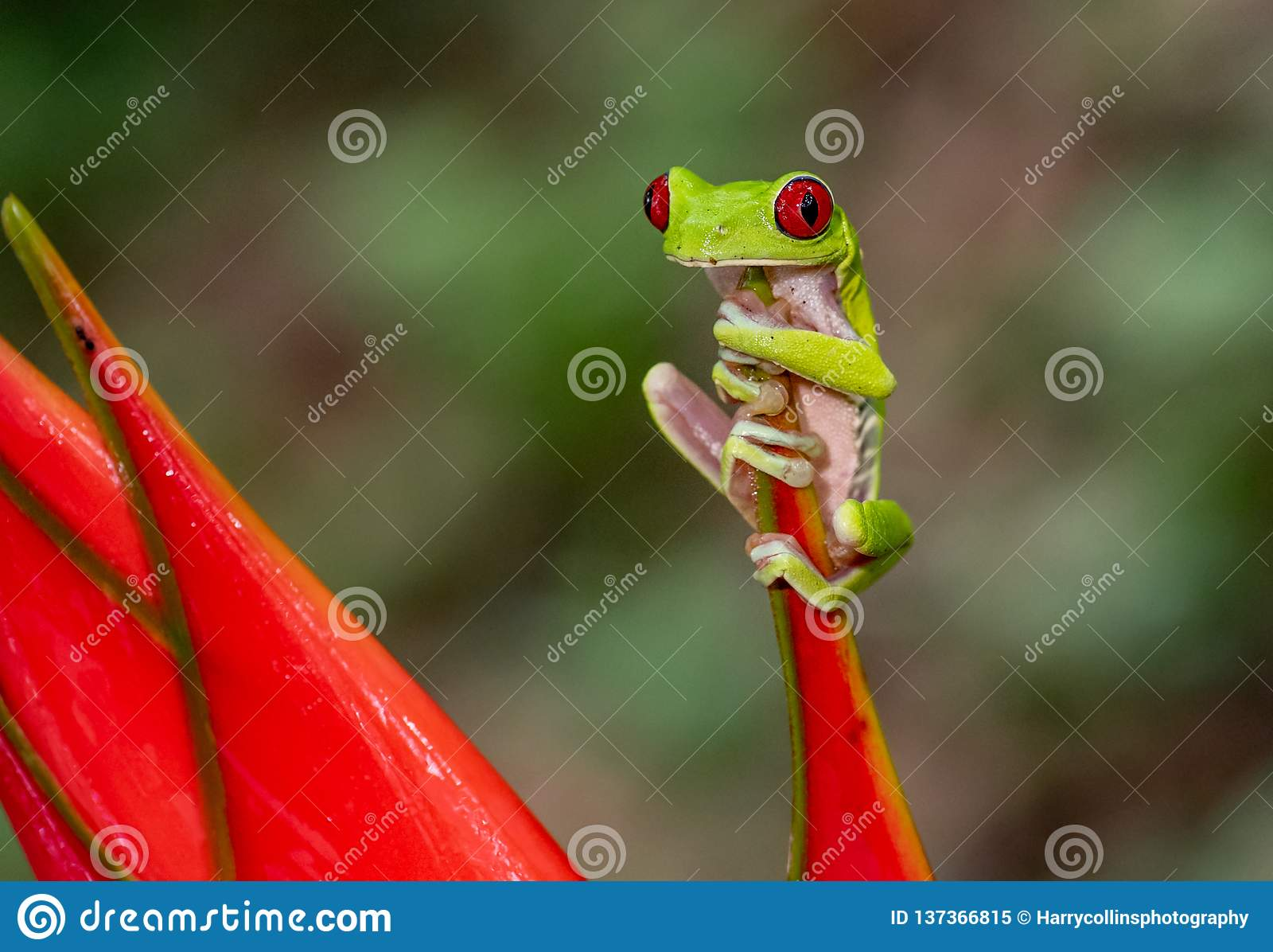 被注视的青蛙红色结构树