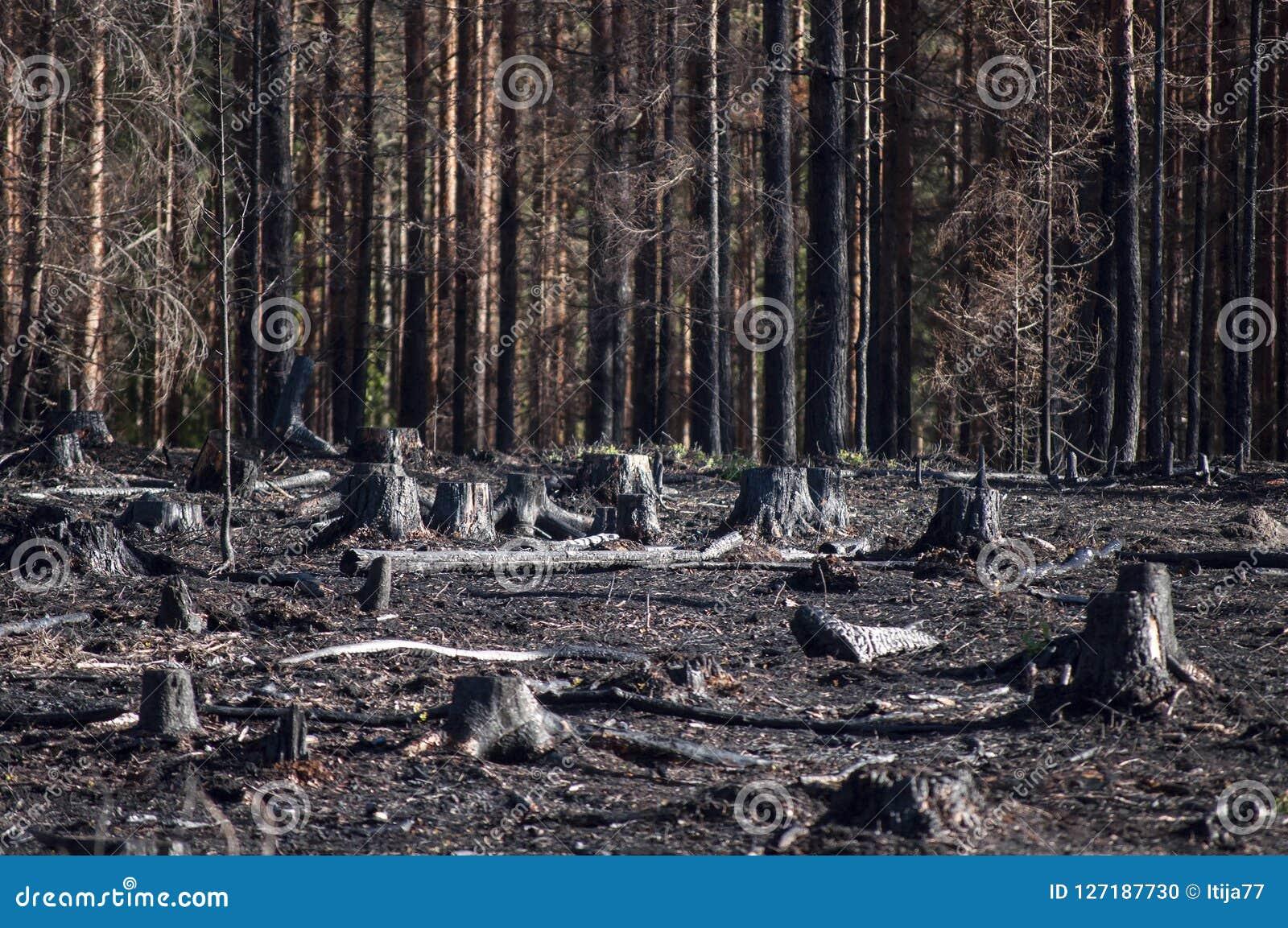 被烧的黑树桩在森林火灾以后的阳光下在再生沼地