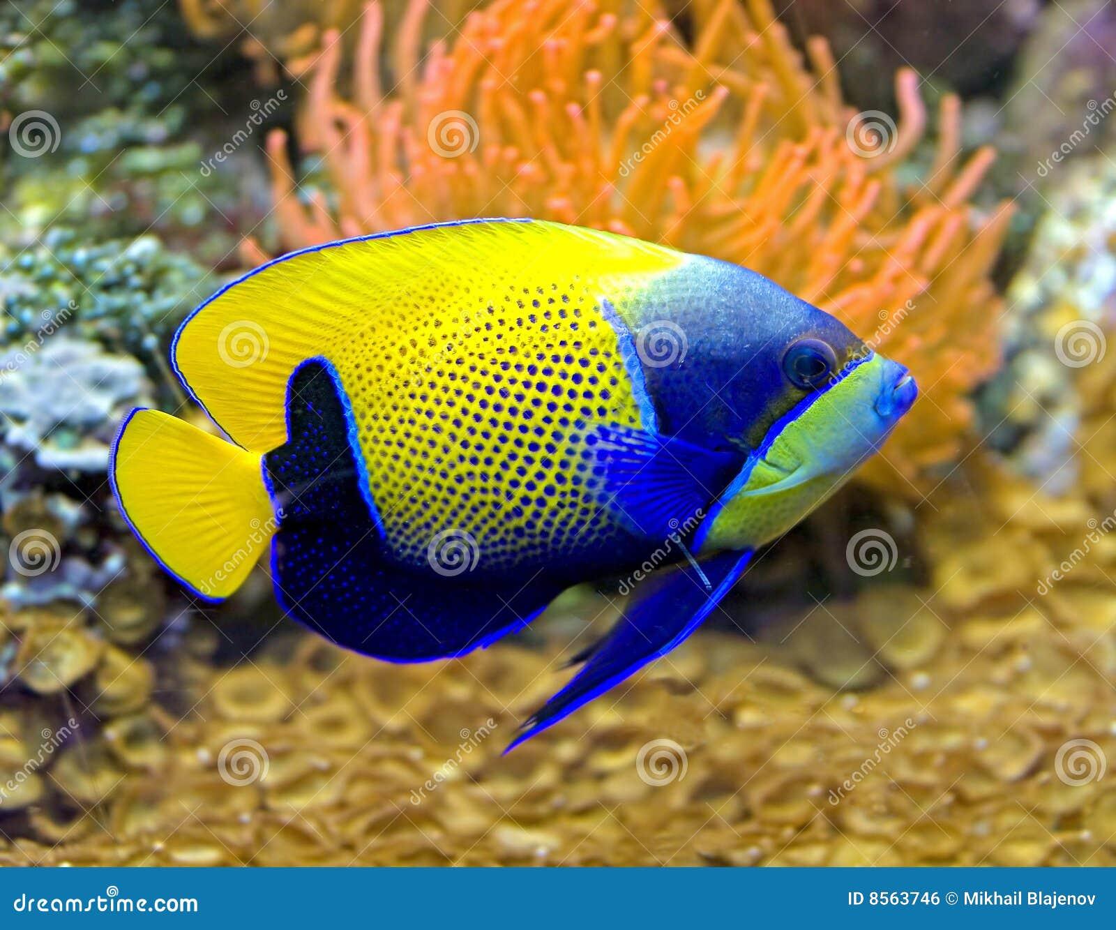 被环绕的5条神仙鱼蓝色