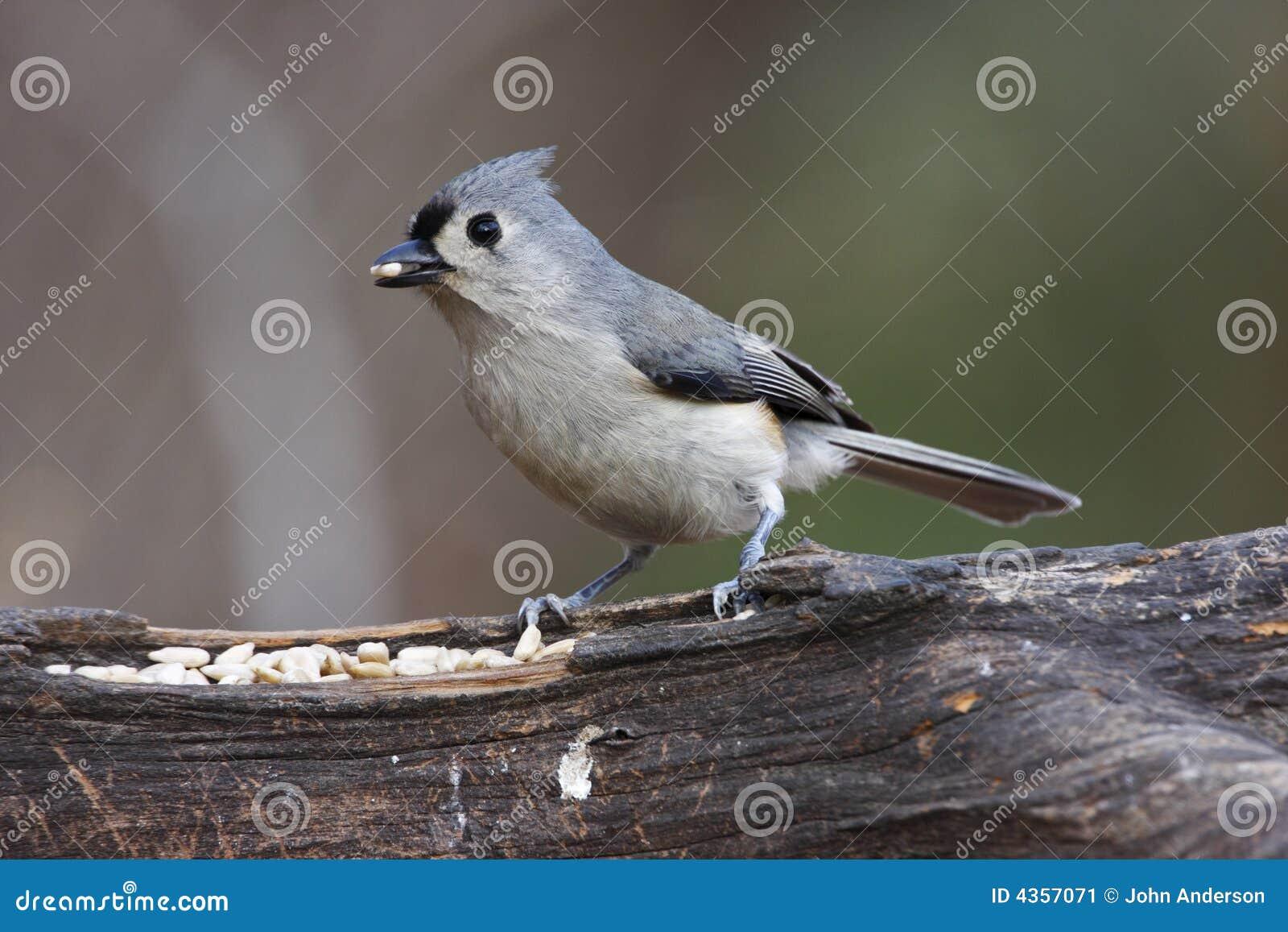 被簇生的北美山雀