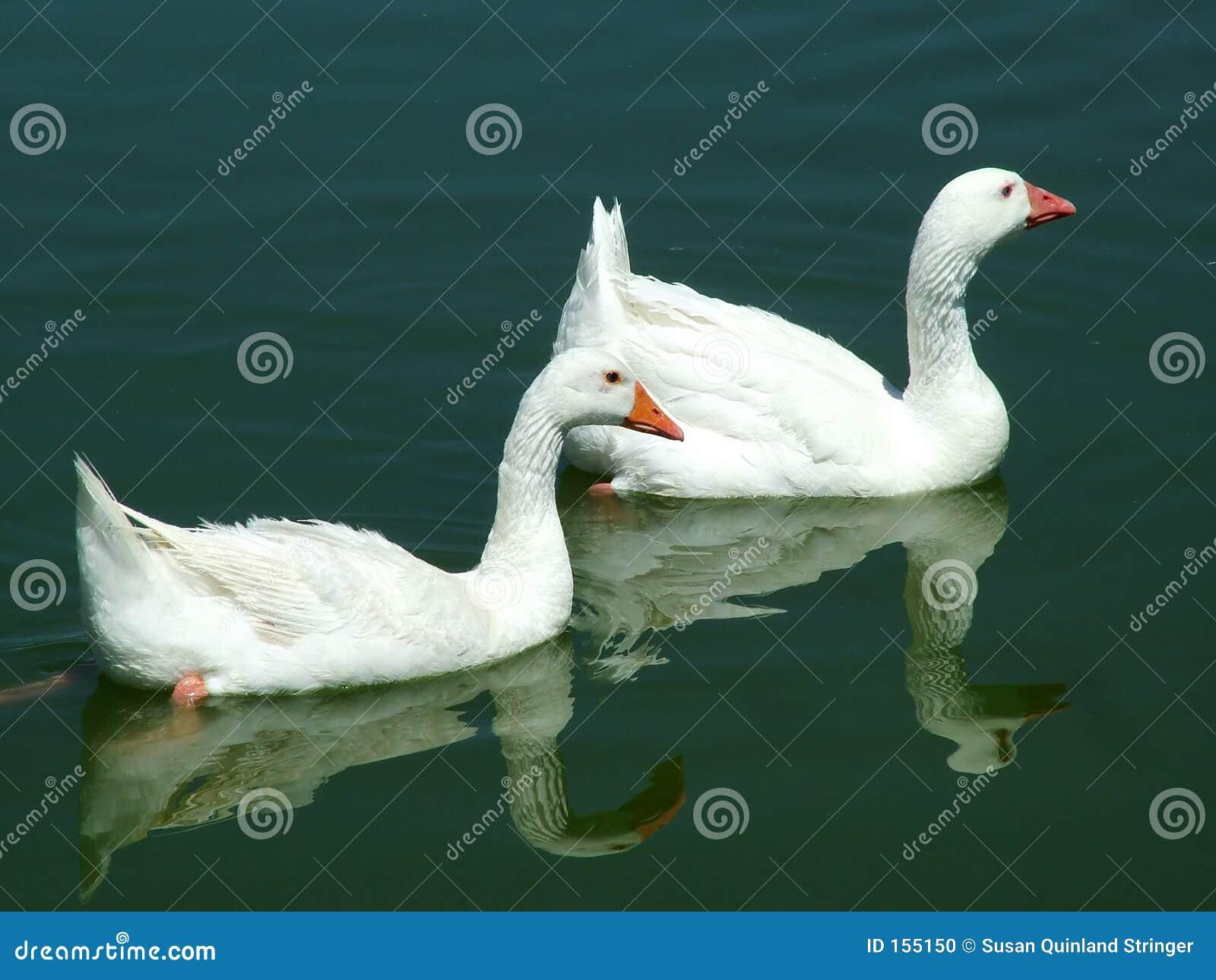 被联接的鹅