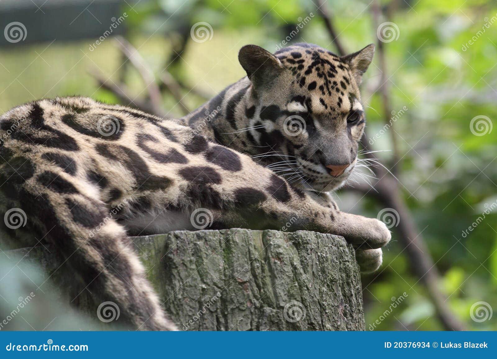 被覆盖的豹子
