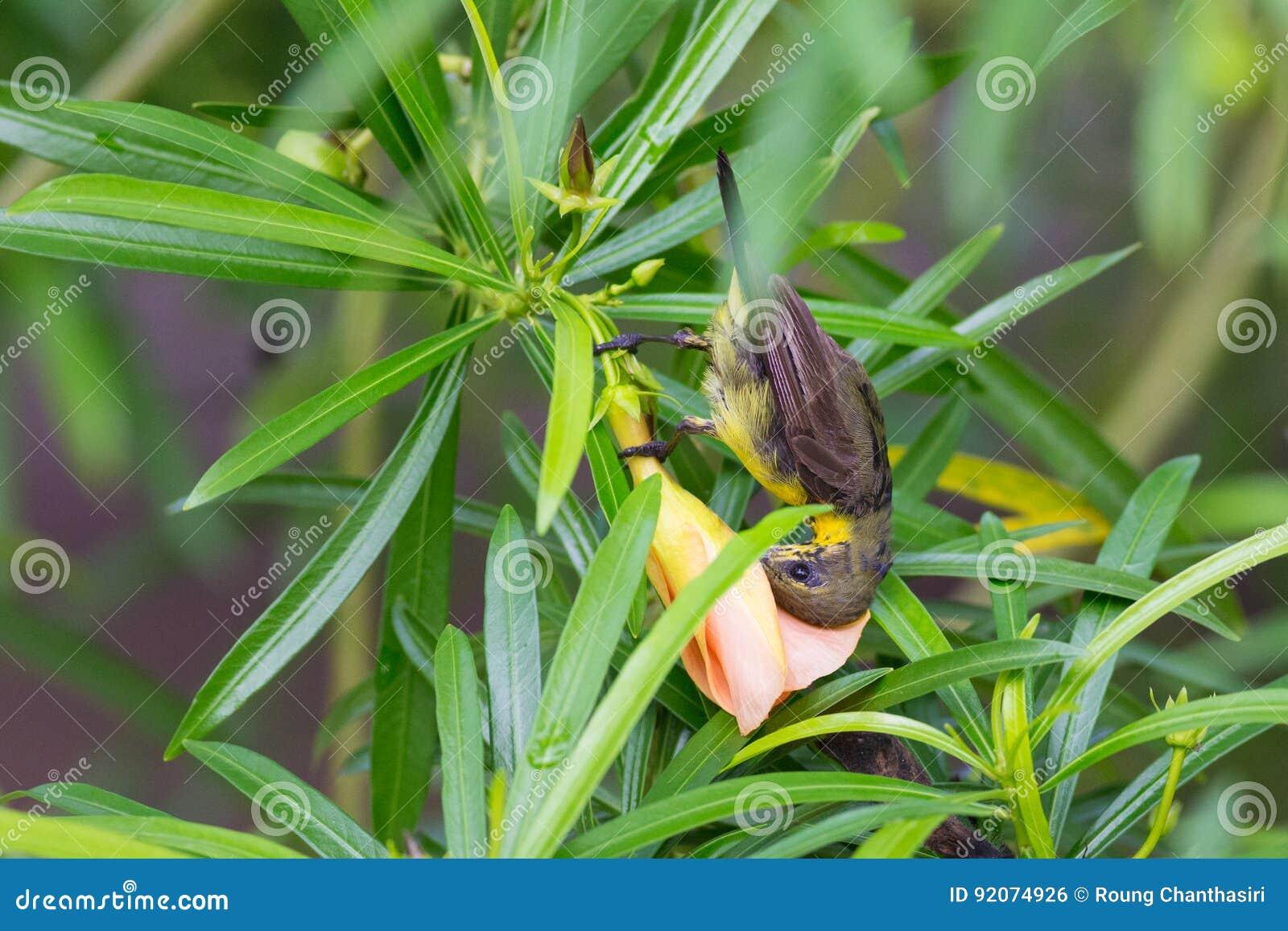 被返回的橄榄色sunbird