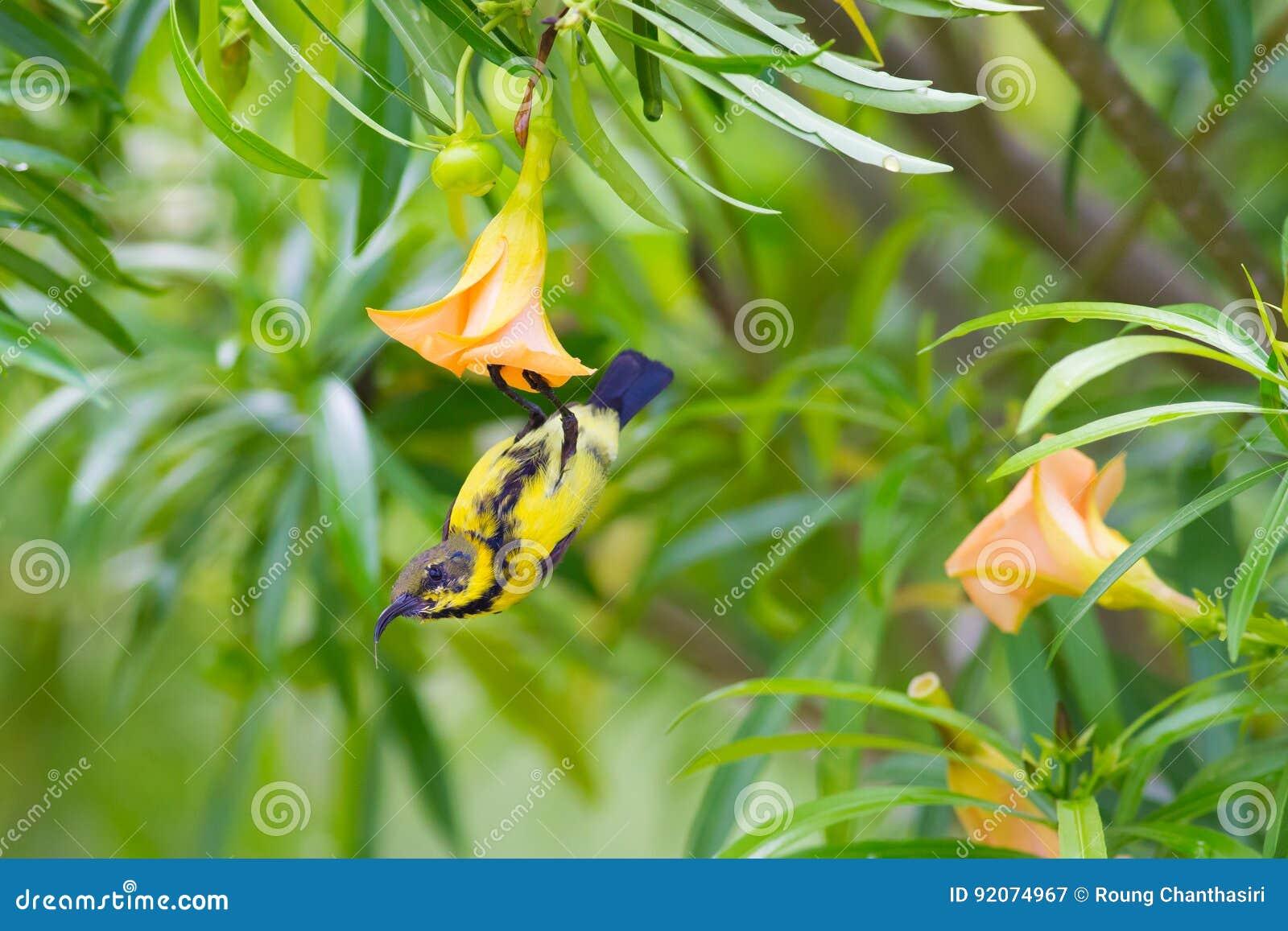 被返回的橄榄色sunbird. 迎火, 夏天.