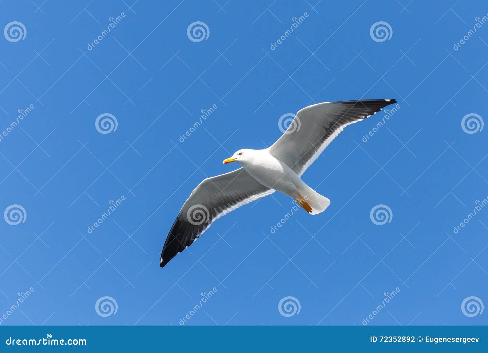 被返回的黑色极大的鸥 在天空的白色海鸥