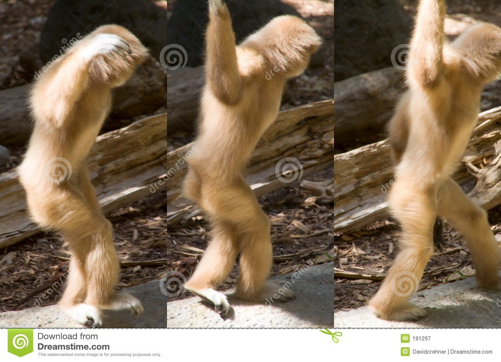 被递的去跳舞长臂猿摆在系列三白色