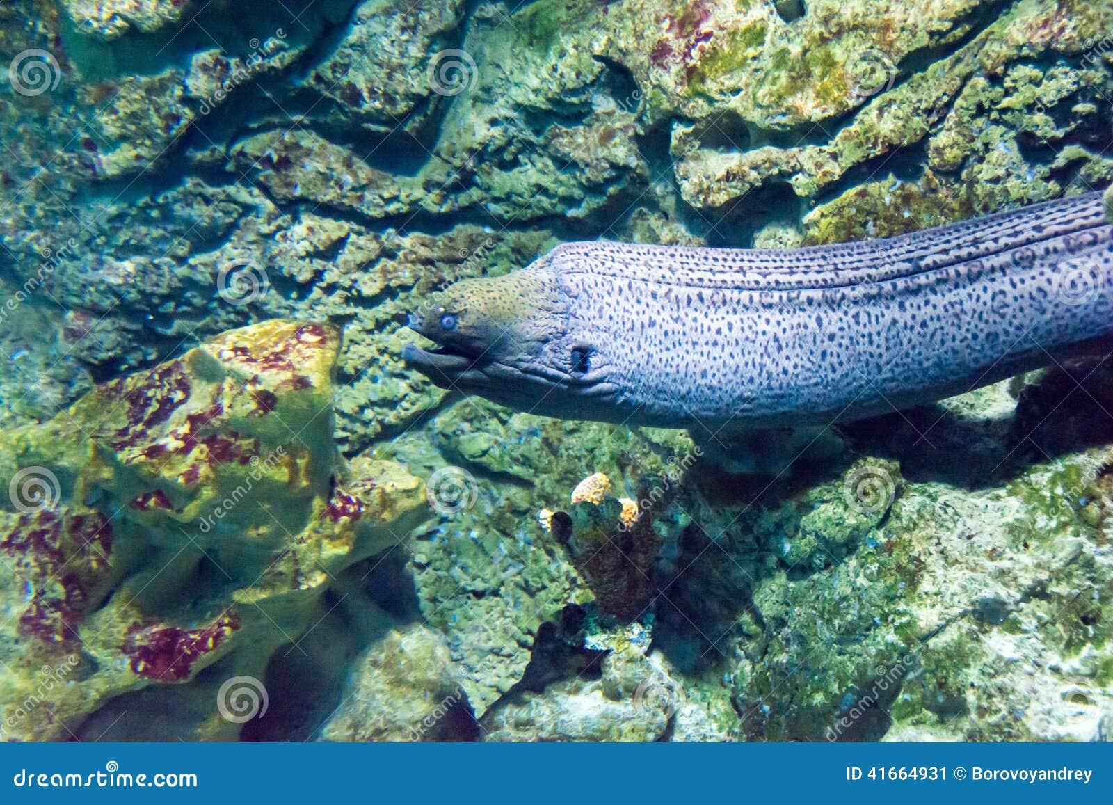 被采取的鳗鱼埃及巨型gymnothorax javanicus默罕默德海鳗ras
