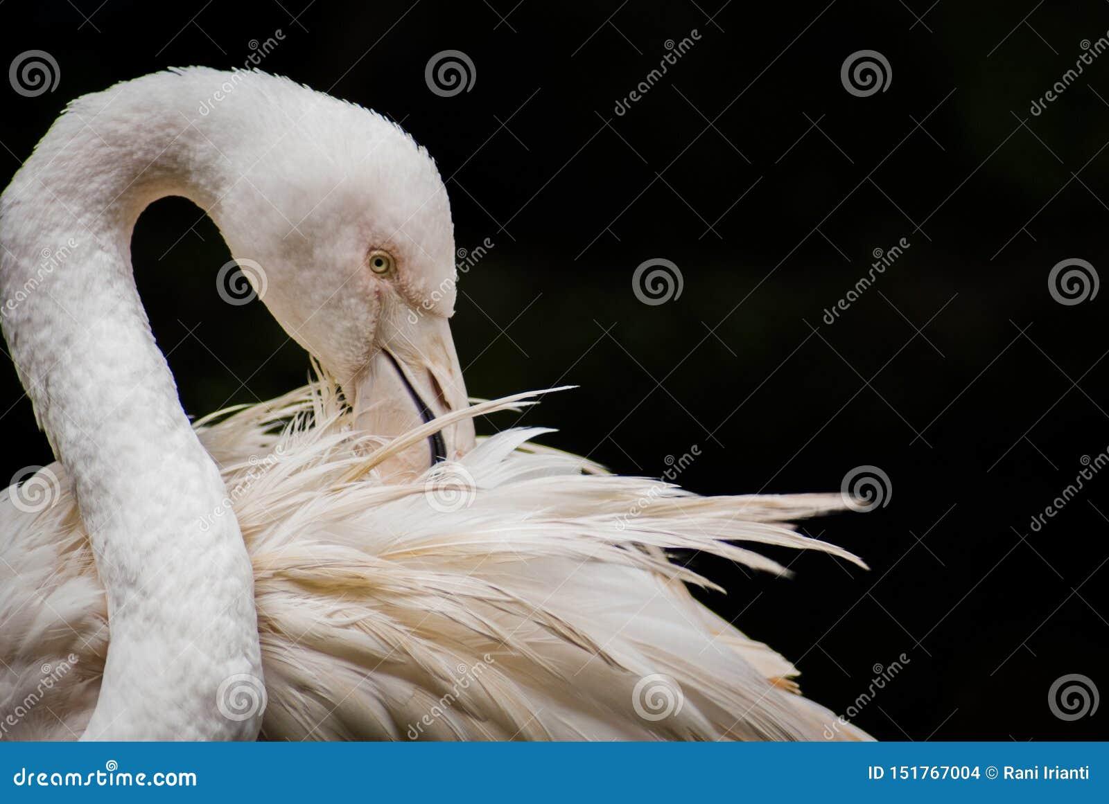 被隔绝更加伟大的火鸟Phoenicopterus的roseus在特写镜头和