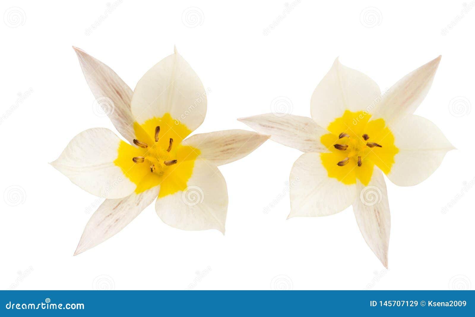 被隔绝的两色郁金香