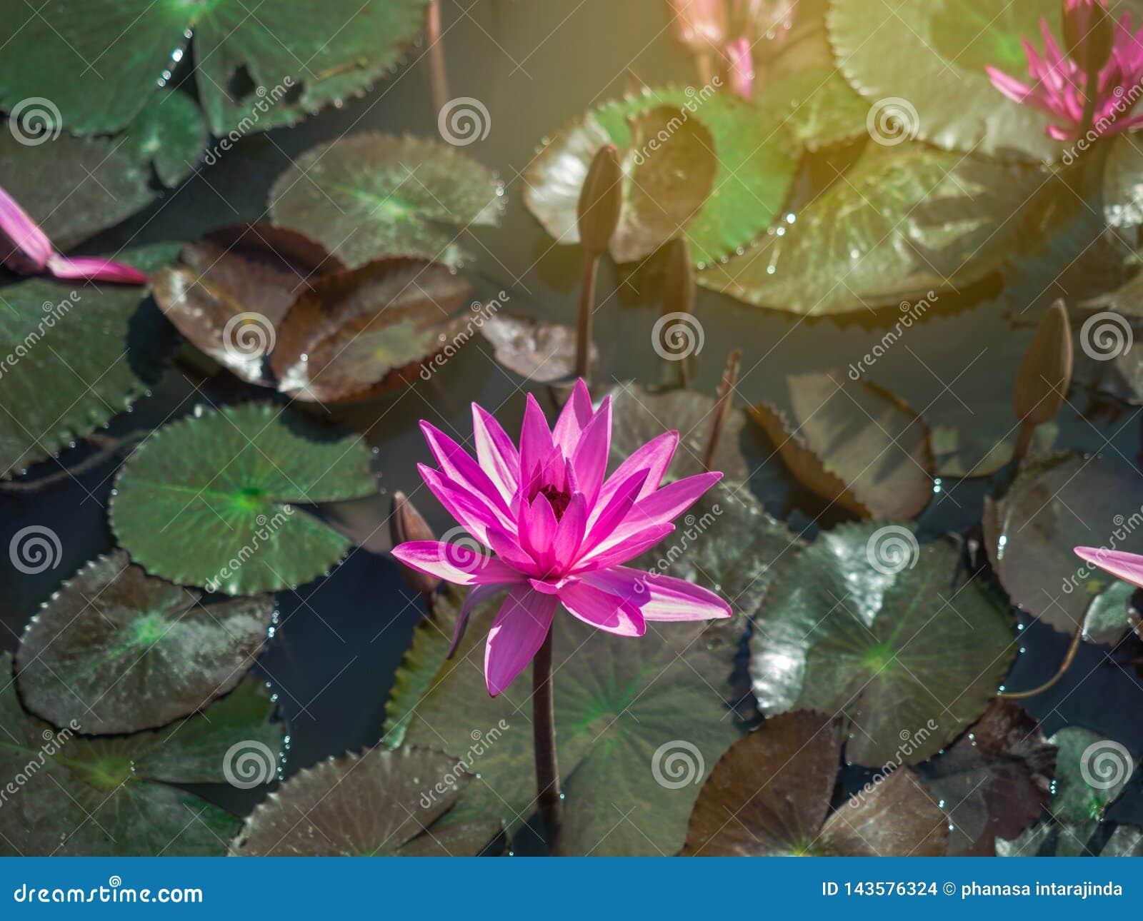 被隔绝的开花的桃红色荷花或莲花特写镜头与叶子在池塘