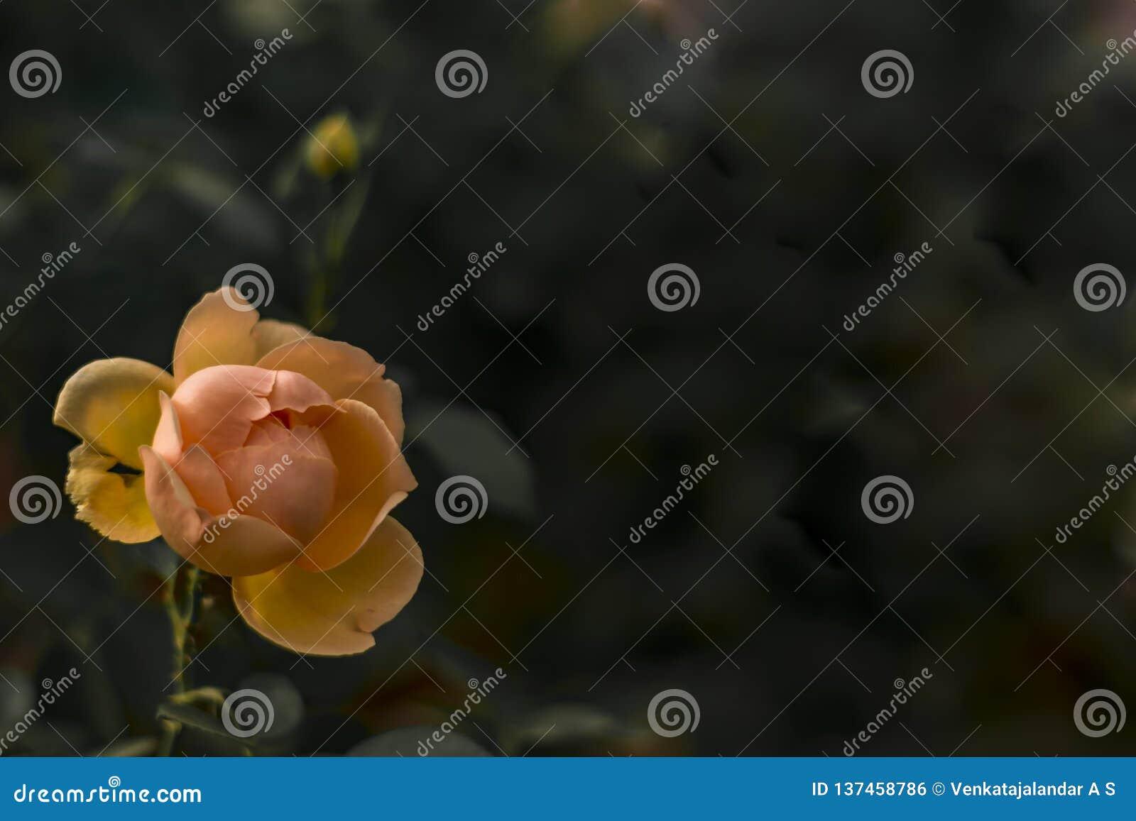 被隔绝的橙色罗斯花有黑暗的背景