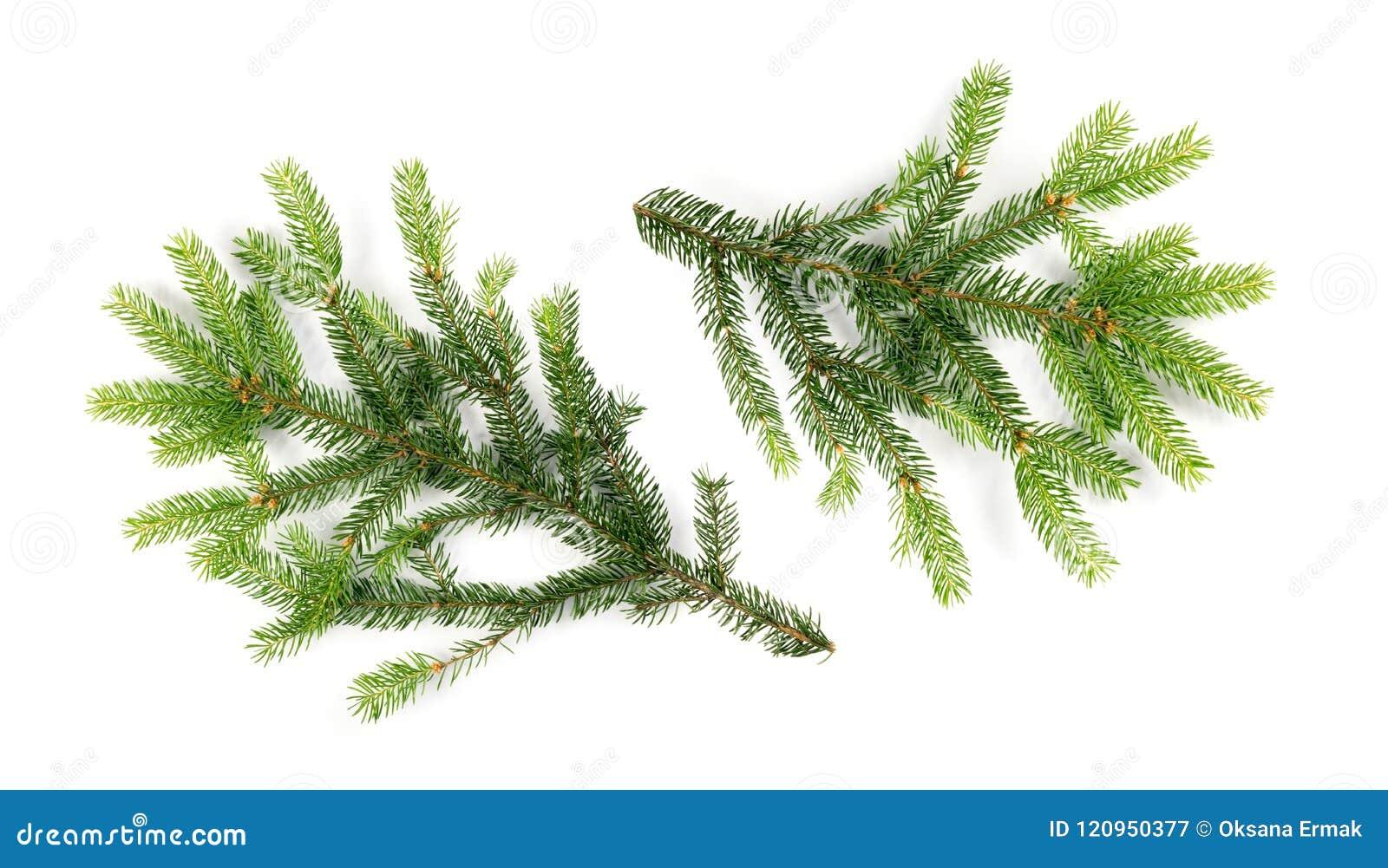 被隔绝的绿色云杉的枝杈