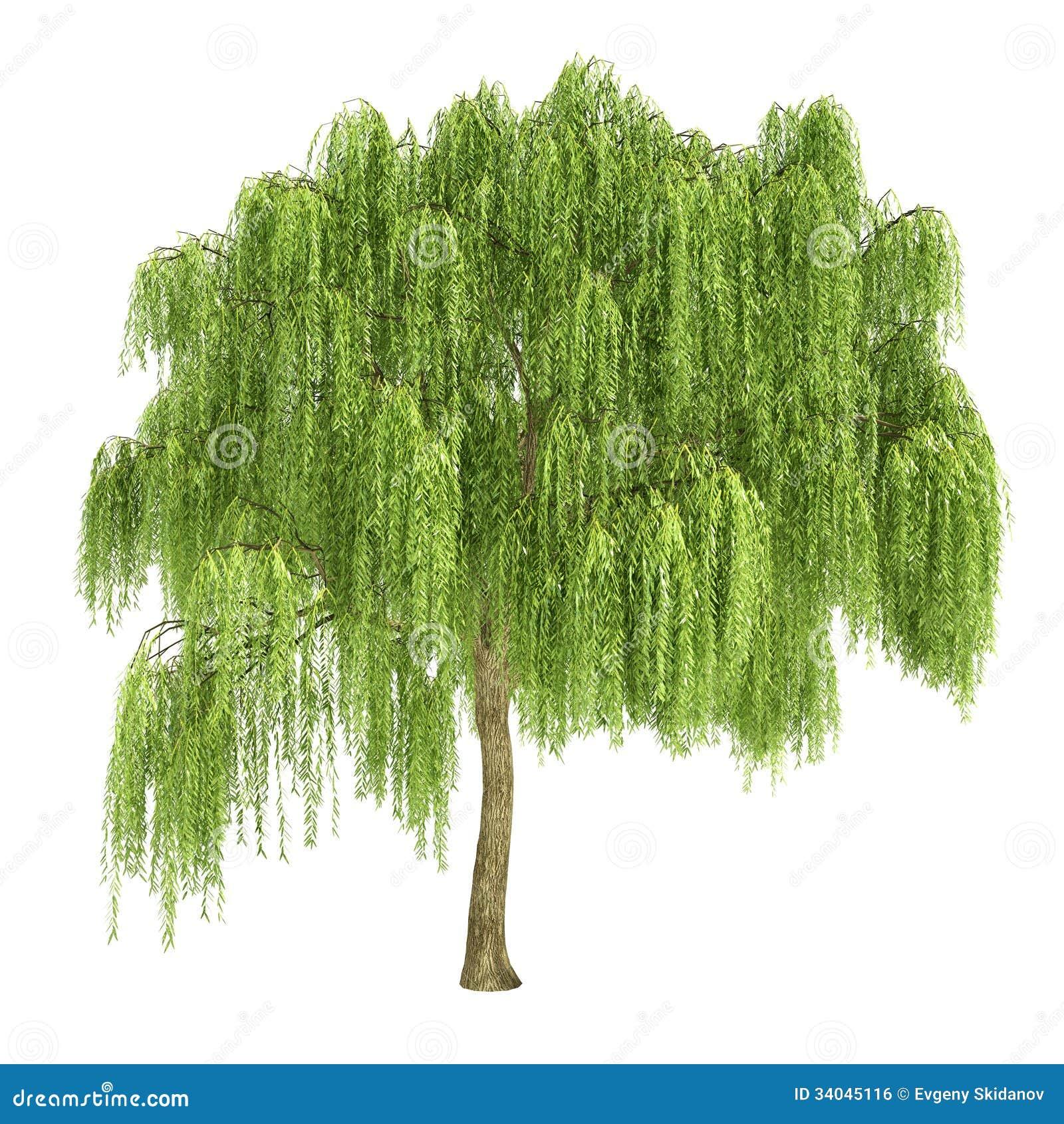 被隔绝的垂柳树