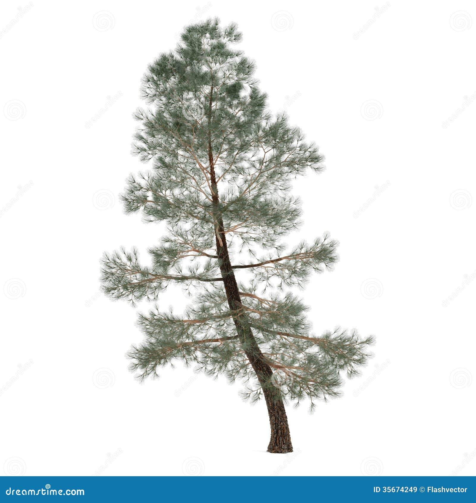 被隔绝的树杉木。异乎寻常的松属