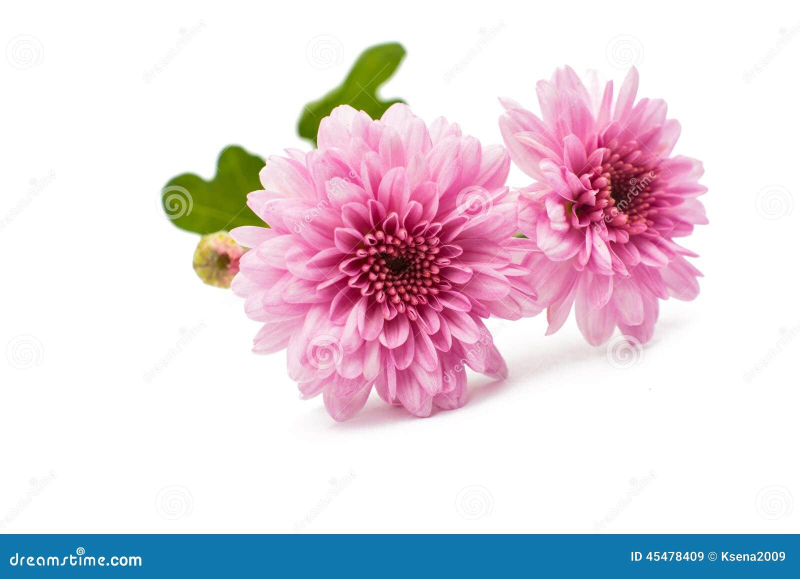 被隔绝的美丽的菊花