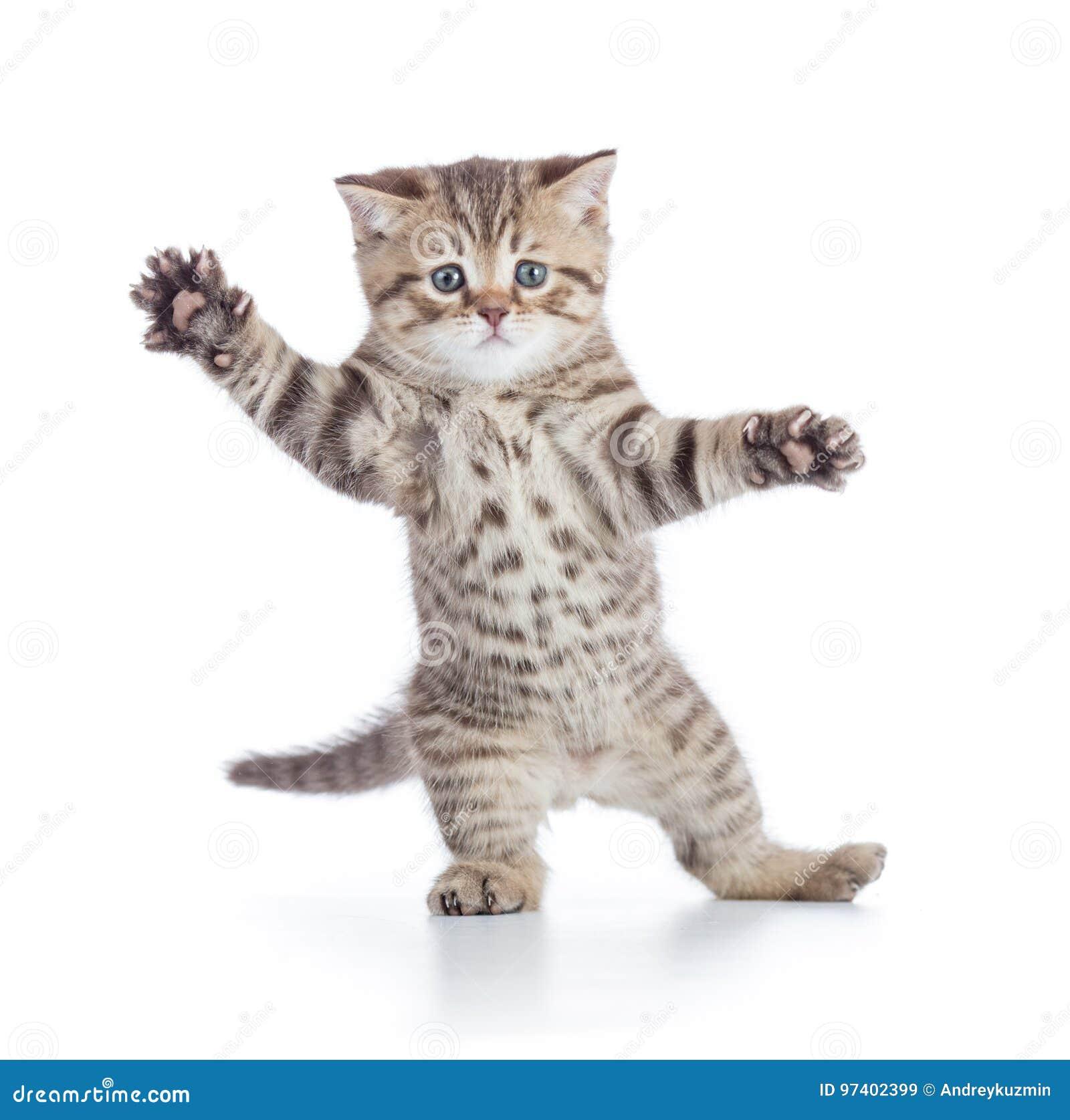 被隔绝的滑稽的小猫猫身分或跳舞