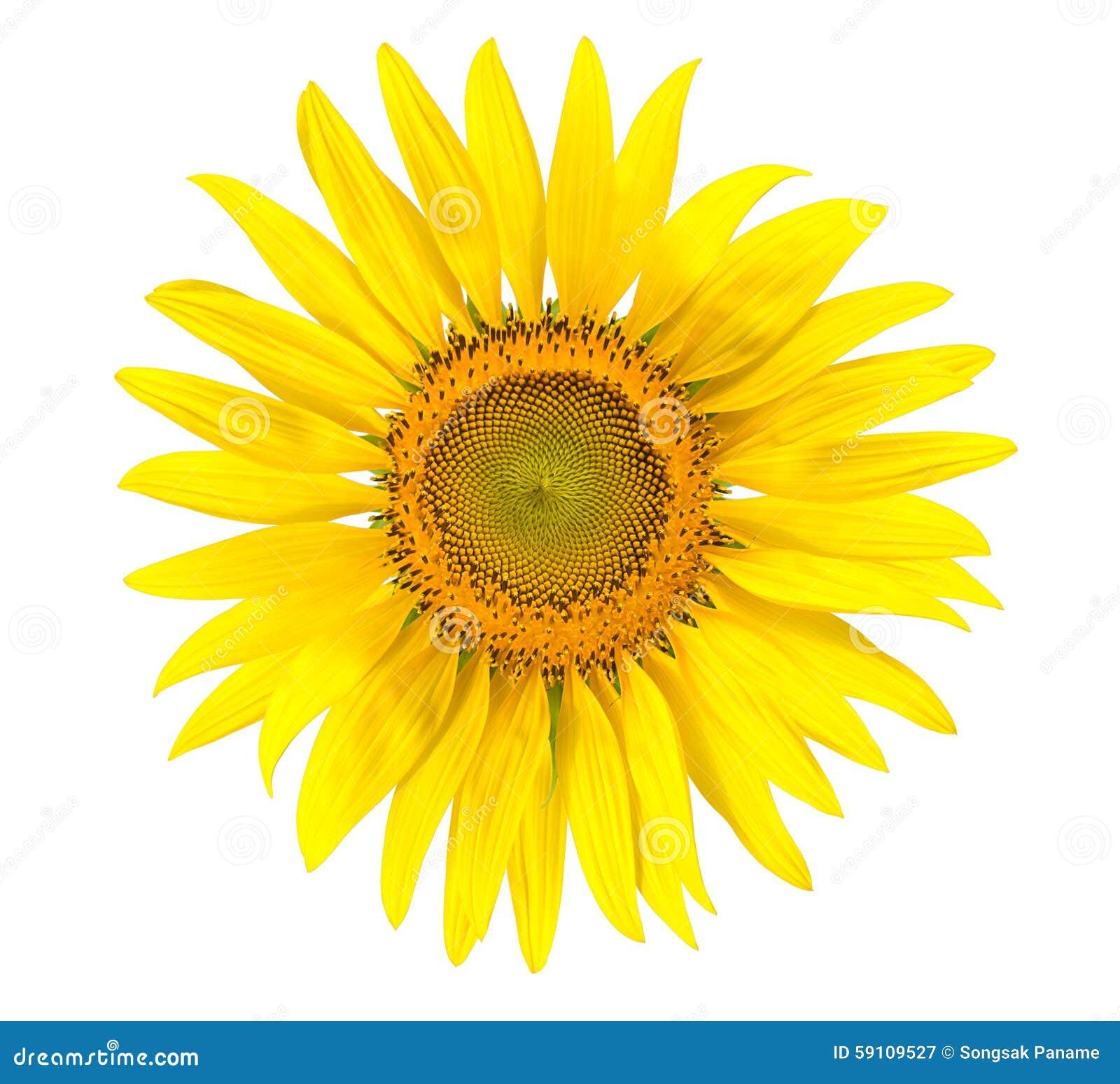 被隔绝的黄色向日葵写背景