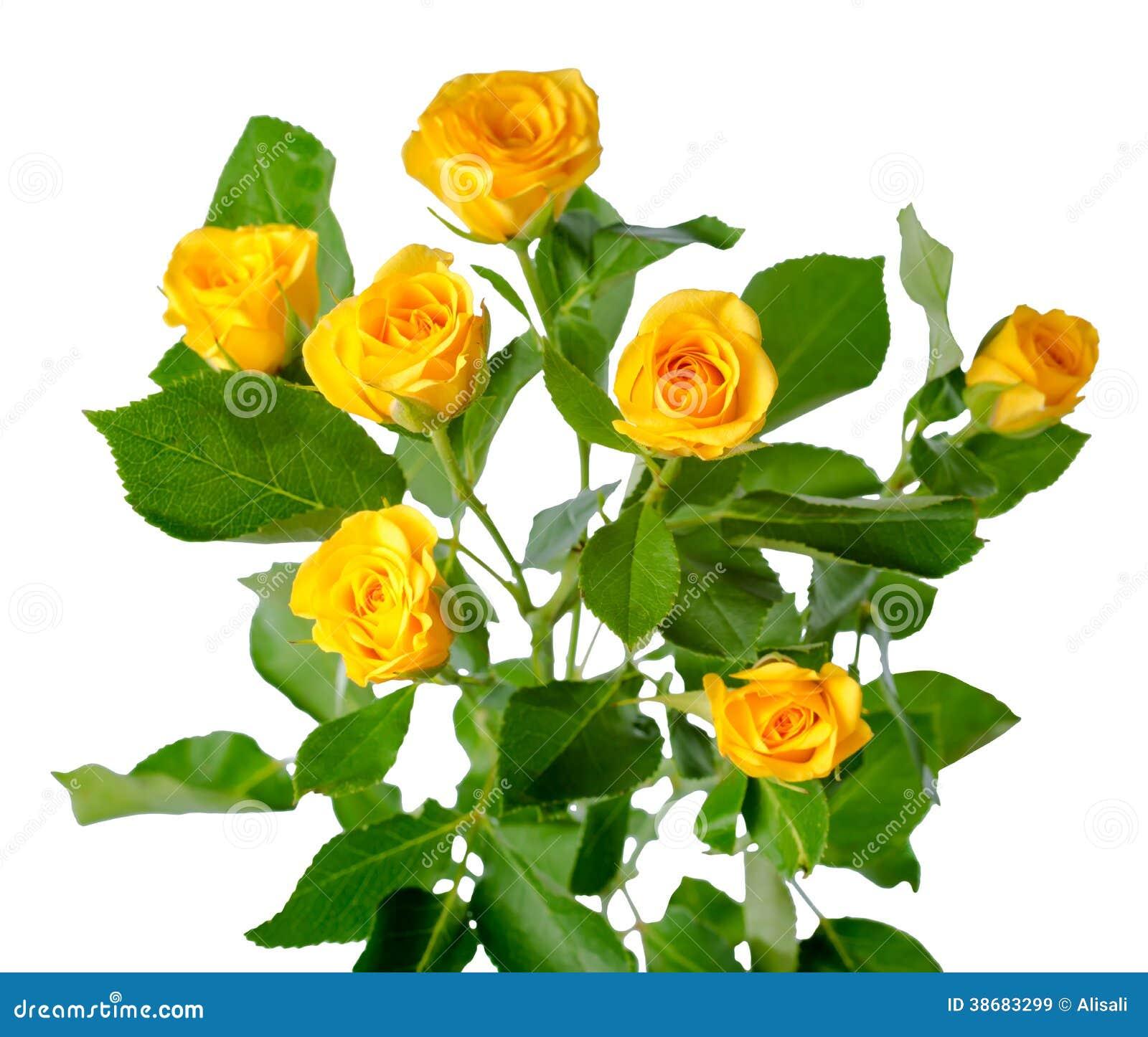 被隔绝的黄色玫瑰丛花