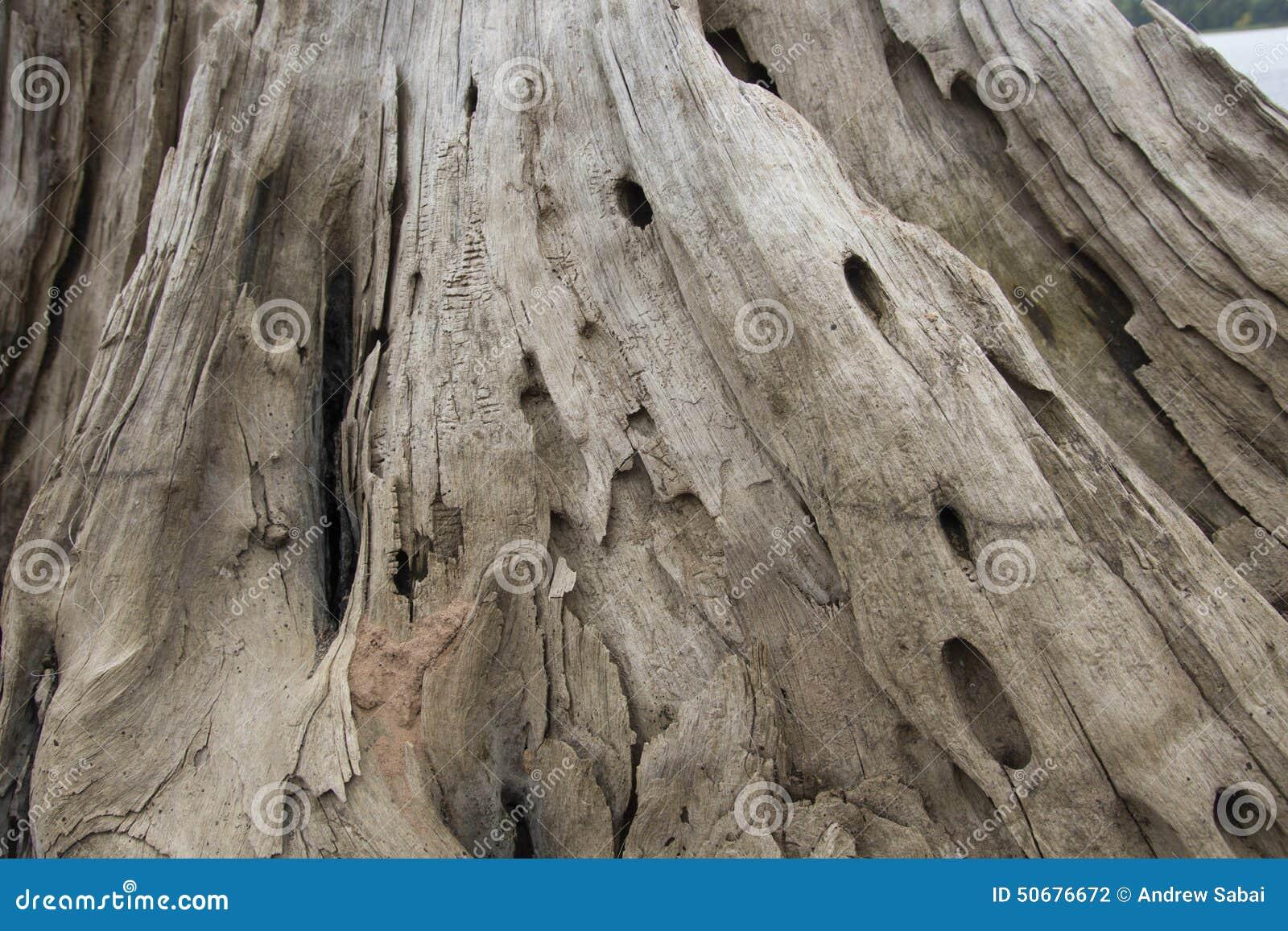 Download 被风化的美国五针松木头 库存照片. 图片 包括有 漏洞, 结构树, 杉木, 东部, 木头, 空白 - 50676672