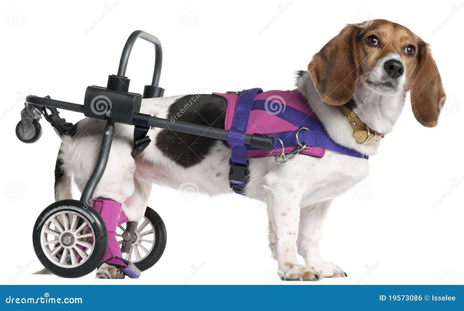 被麻痹的品种狗有残障混杂
