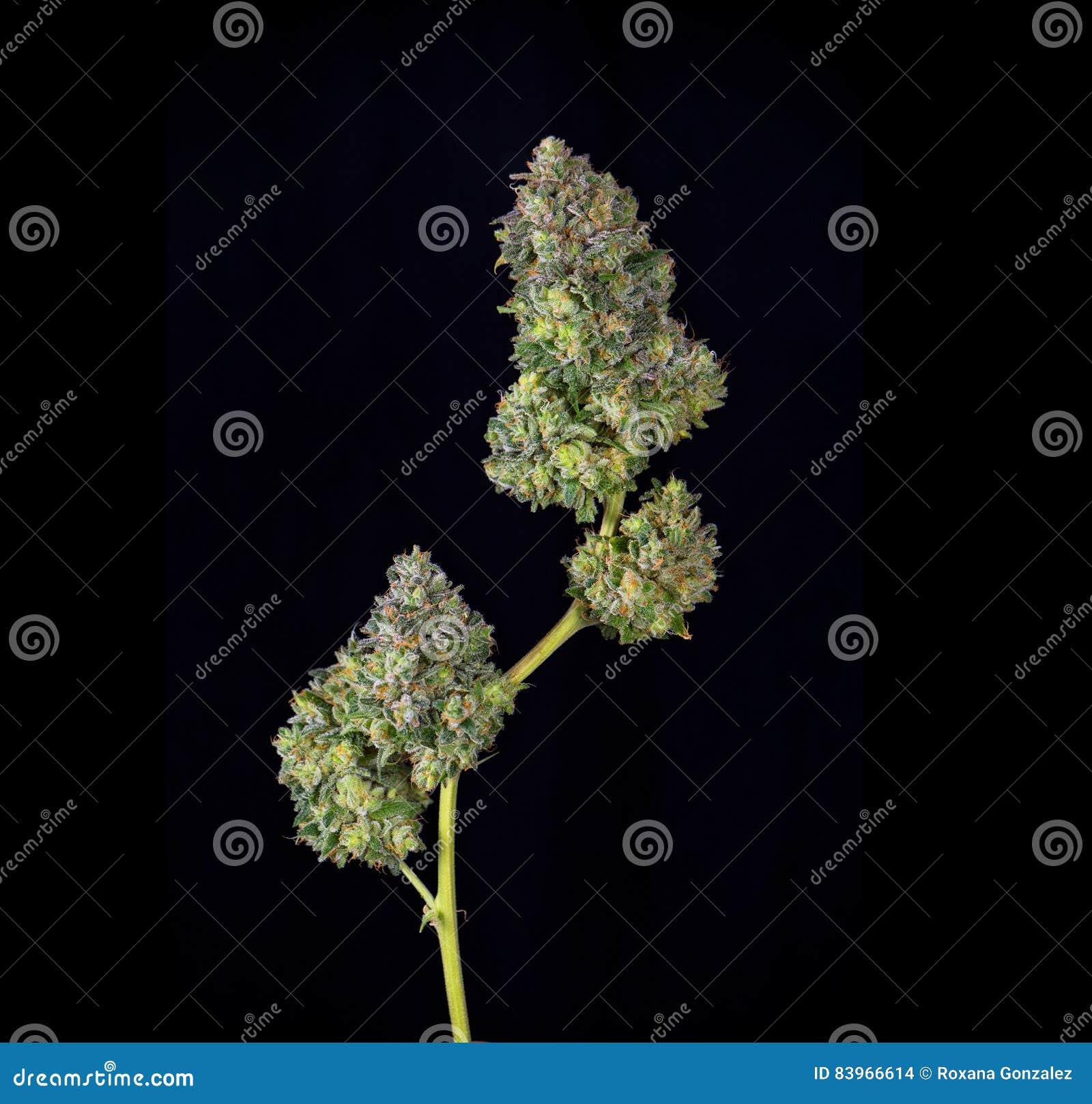 被整理的大麻可乐mangolope大麻张力jus细节