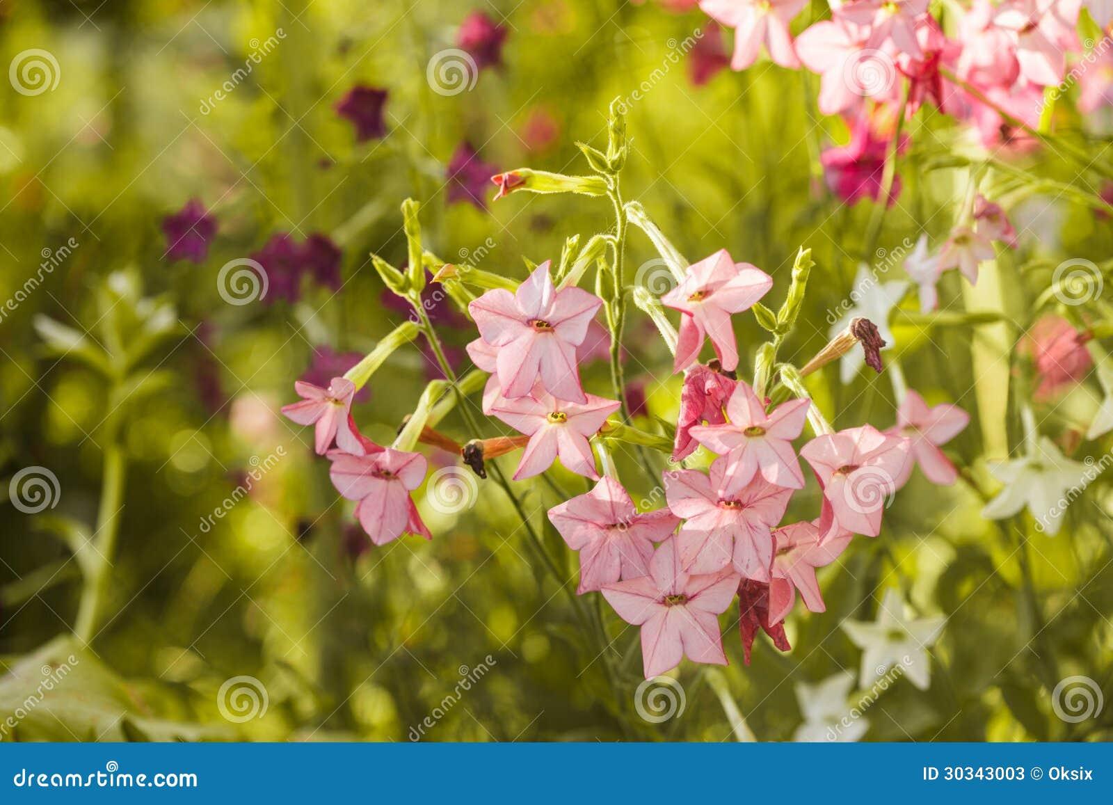 在花圃特写镜头的装饰烟草花.