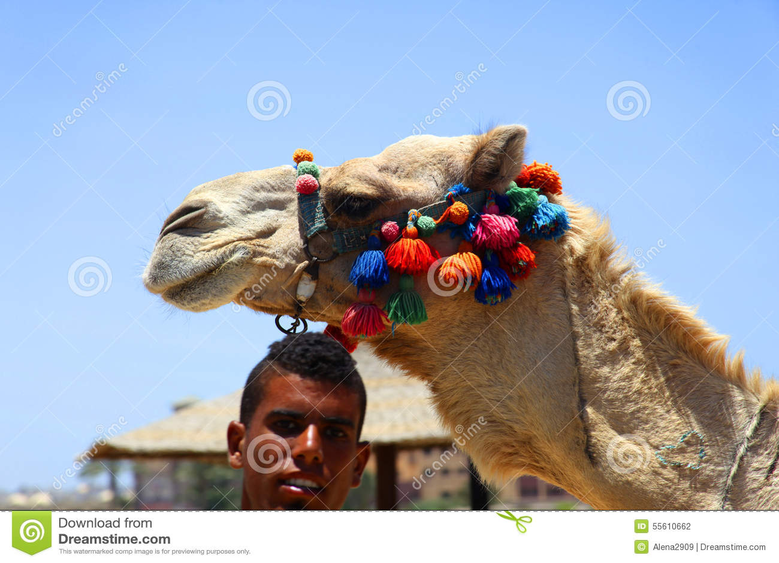装饰的埃及骆驼
