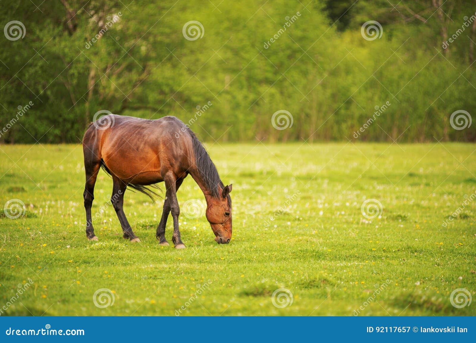 黑褐色马在一个绿色春天草甸吃草反对一个年轻森林的背景落日的