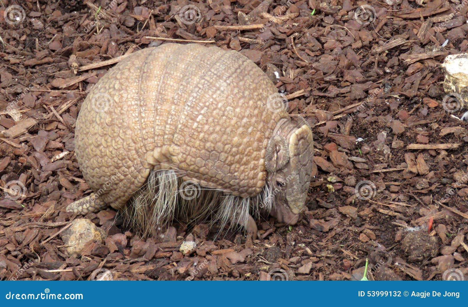 巴西人在动物园de beauval里三结合了犰狳(tolypeutes tricinctus)在