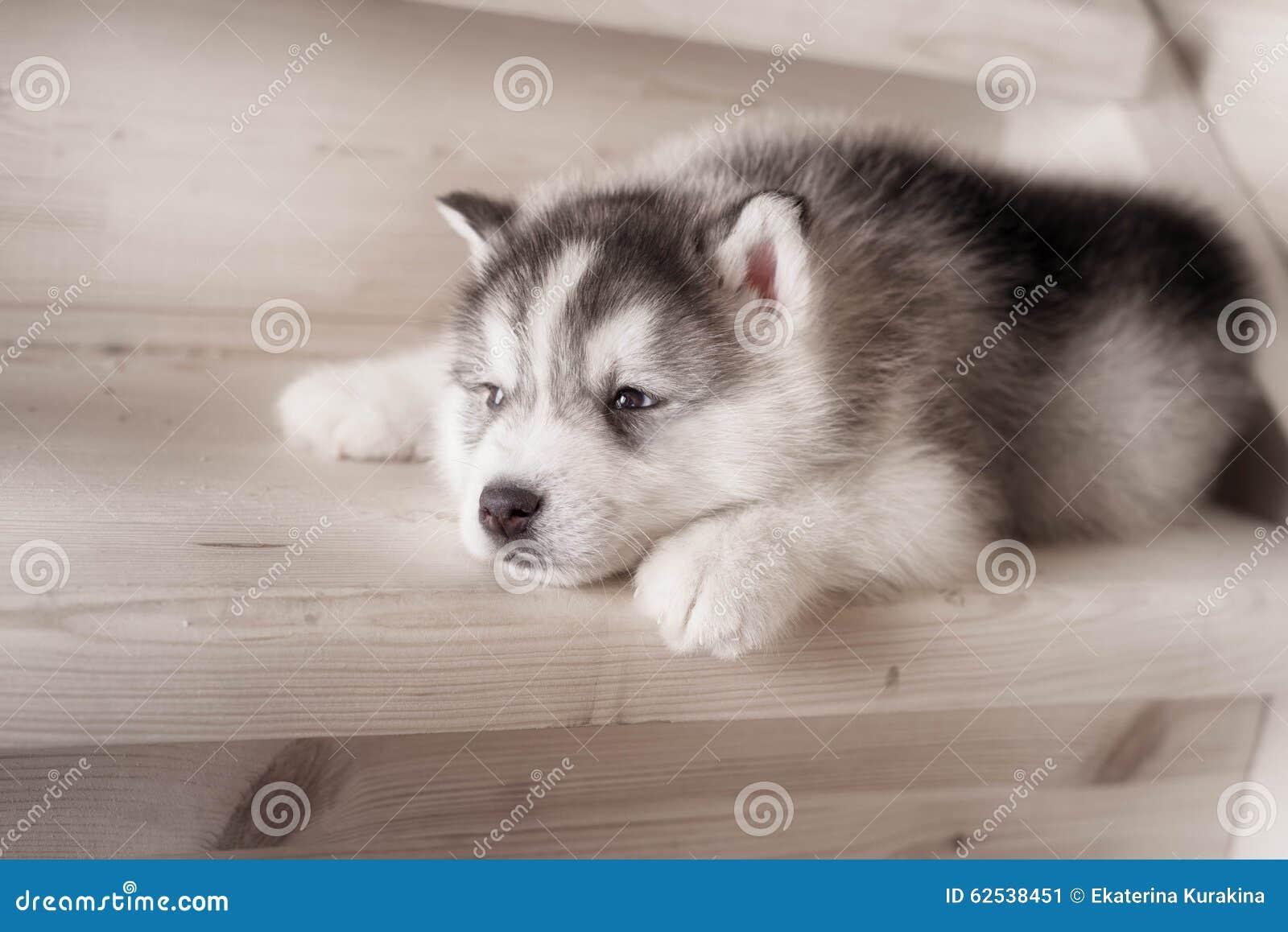 西伯利亚爱斯基摩人品种一条小狗在木地板上的