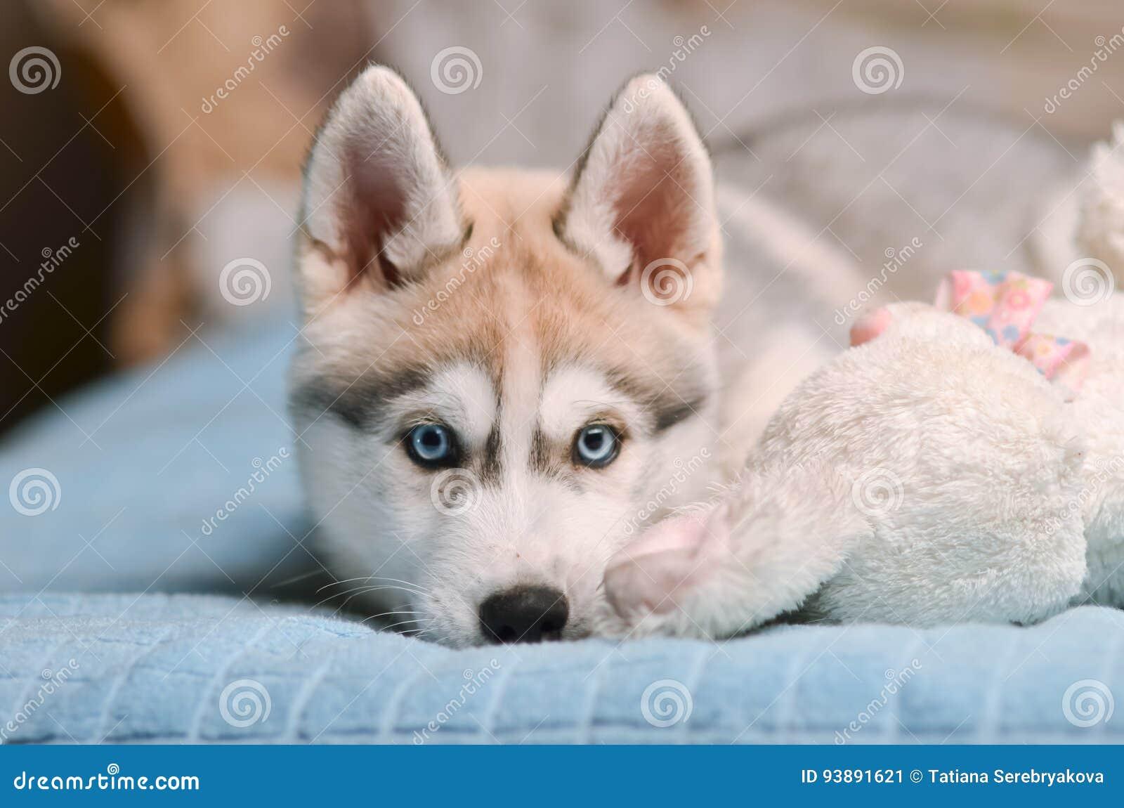 西伯利亚爱斯基摩人狗小狗灰色和白色蓝色雏鹰画象