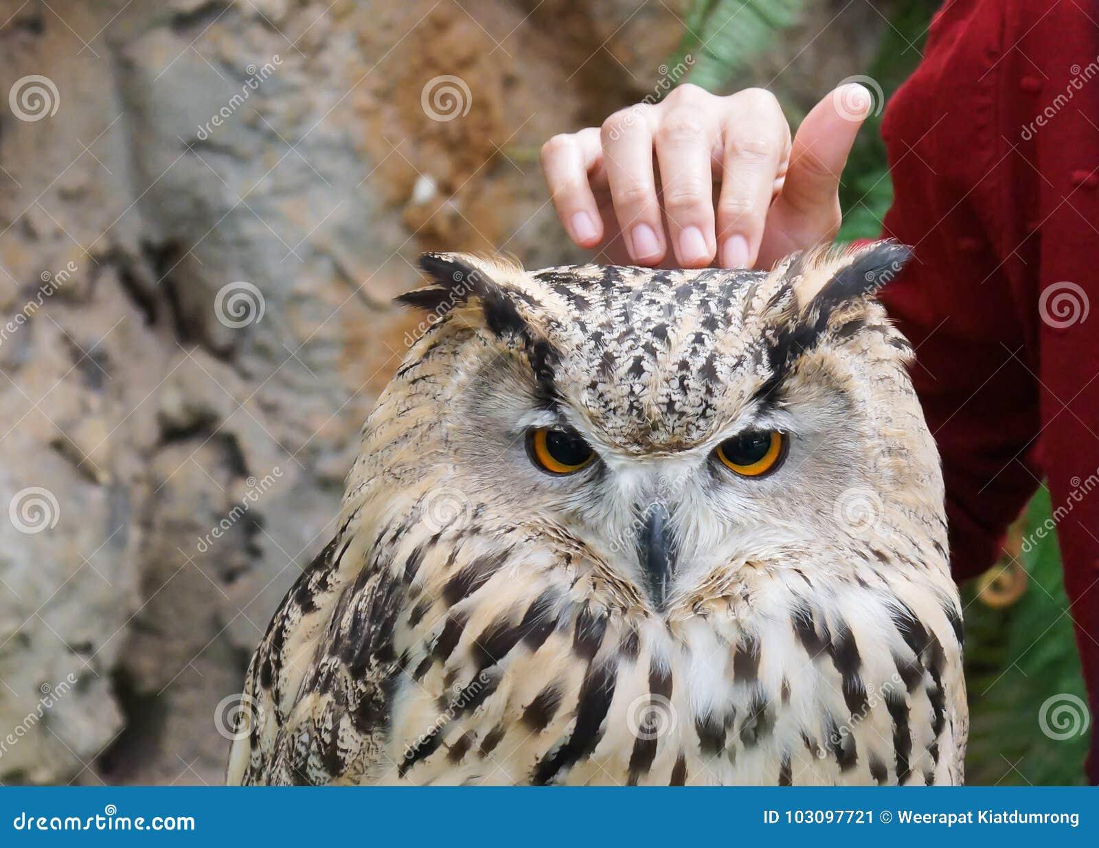 西伯利亚猫头鹰