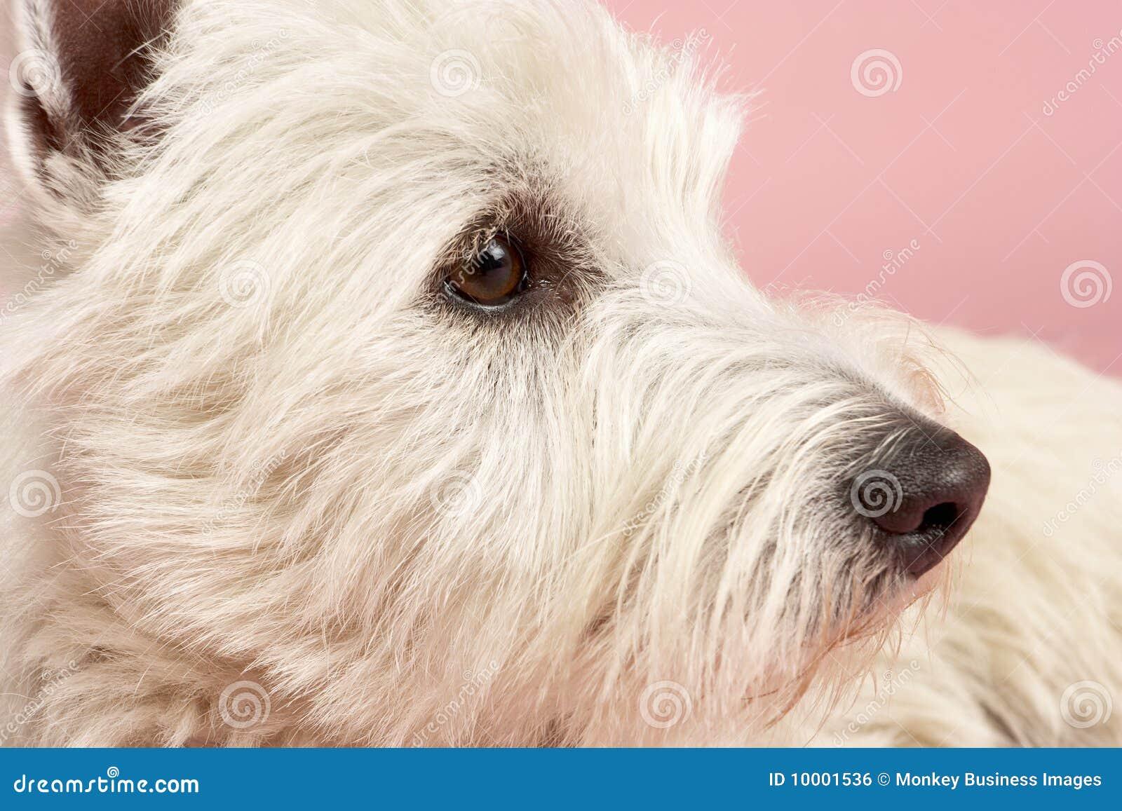 西方狗高地工作室的狗