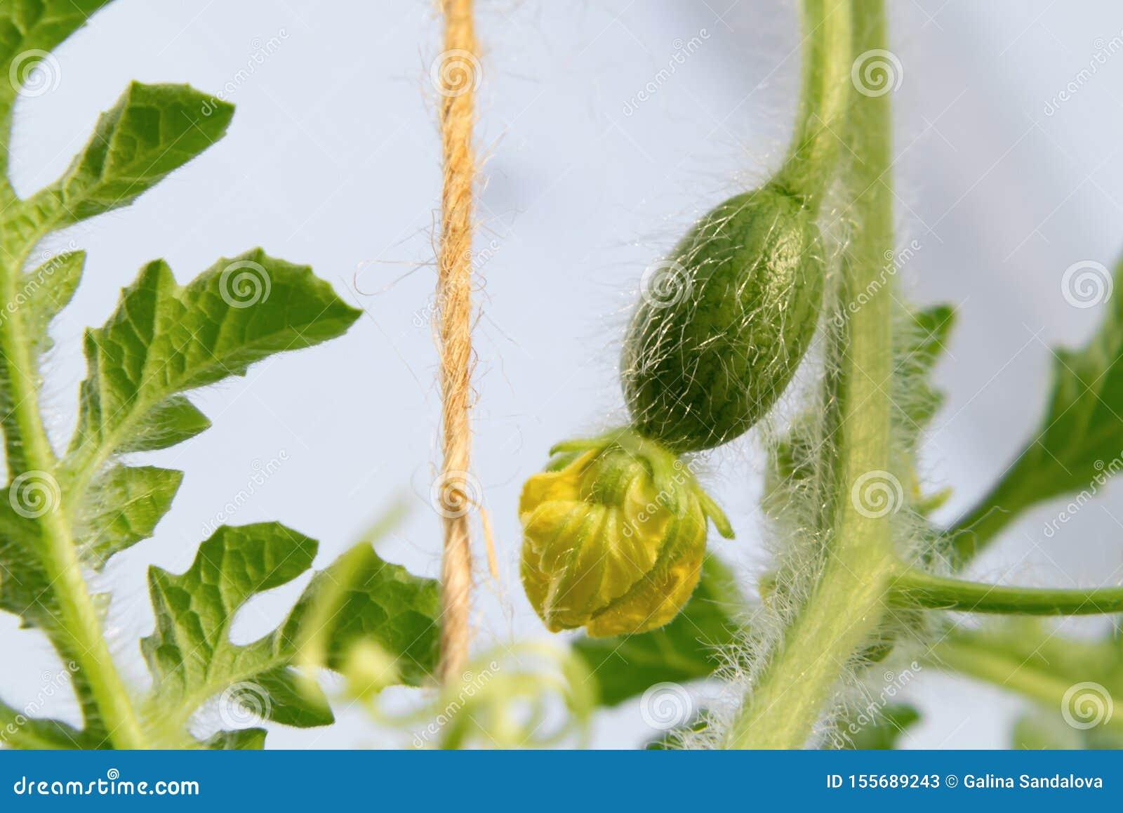 西瓜小卵巢与一朵花的自温室