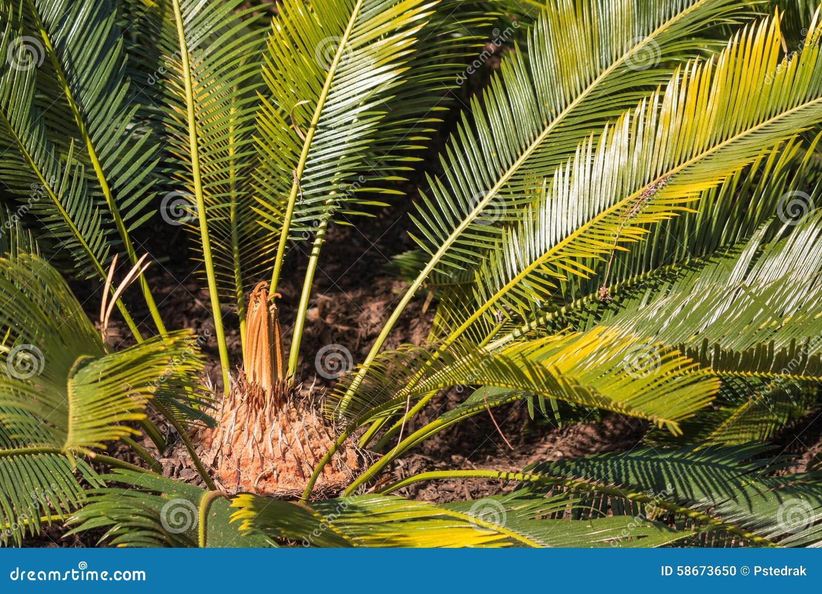 西米苏铁科的植物叶子和玫瑰华饰特写镜头.图片