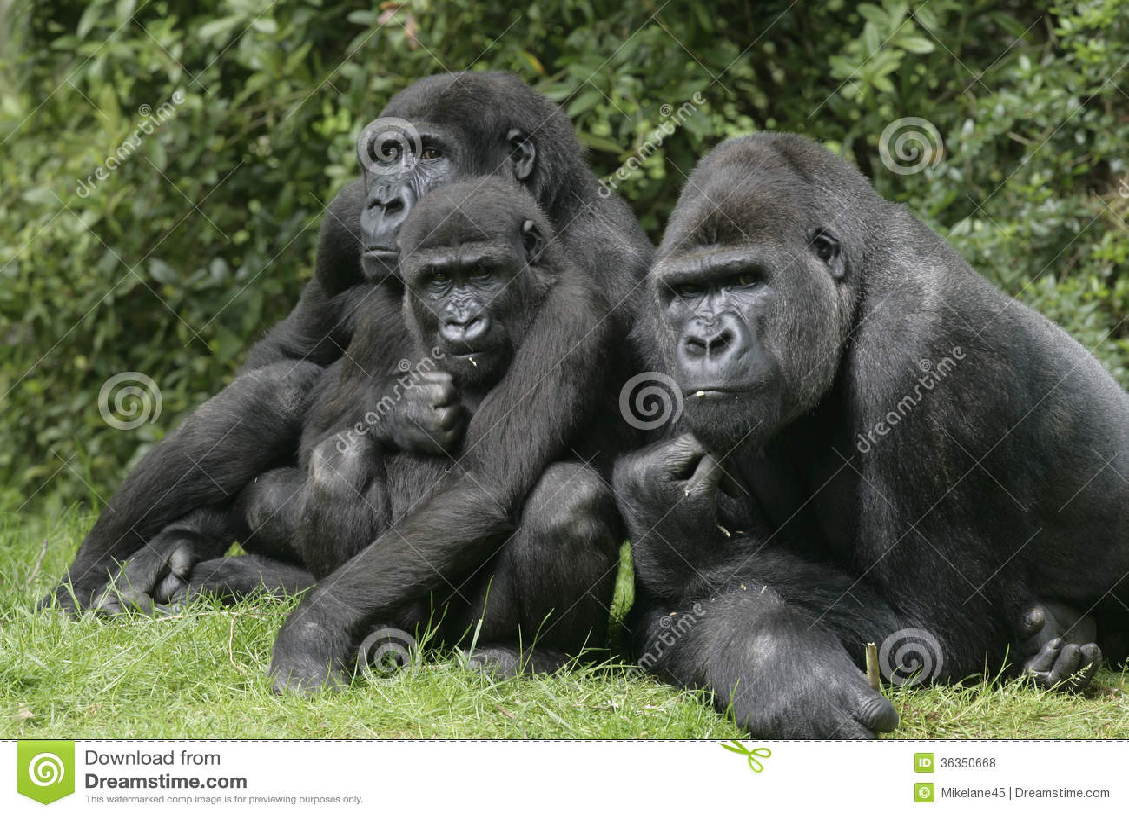西部凹地大猩猩,大猩猩大猩猩