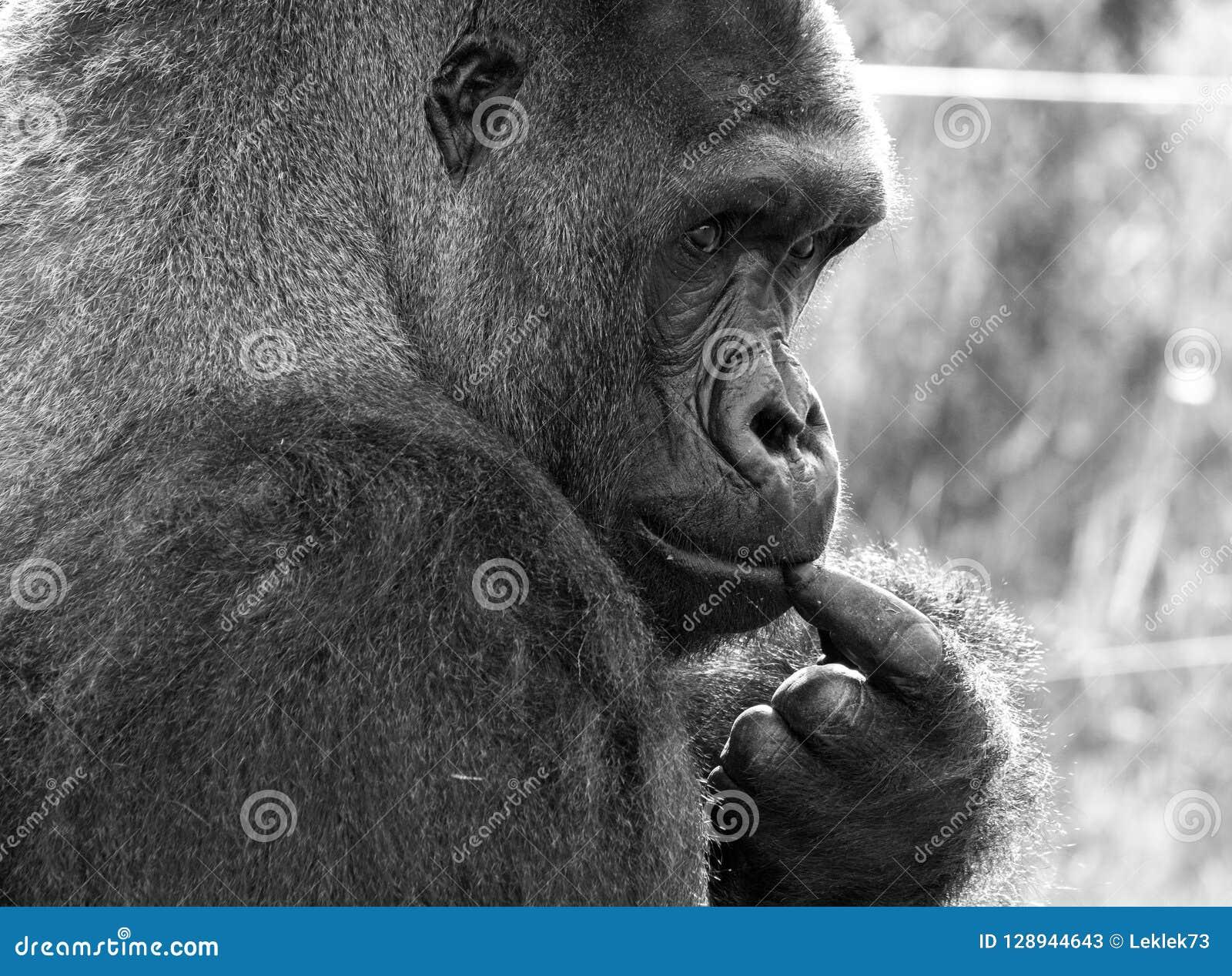 西部凹地大猩猩,成年男性大猩猩外形  拍摄在口岸Lympne徒步旅行队公园在阿什富德肯特英国附近