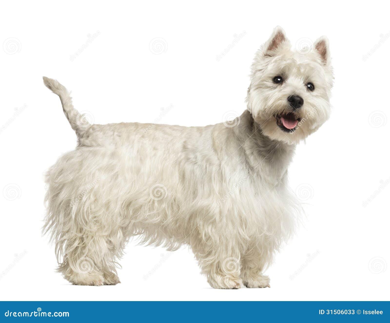 轩逸摩卡棕和白色对比_我的狗是棕白色的英语_棕白色哈士奇
