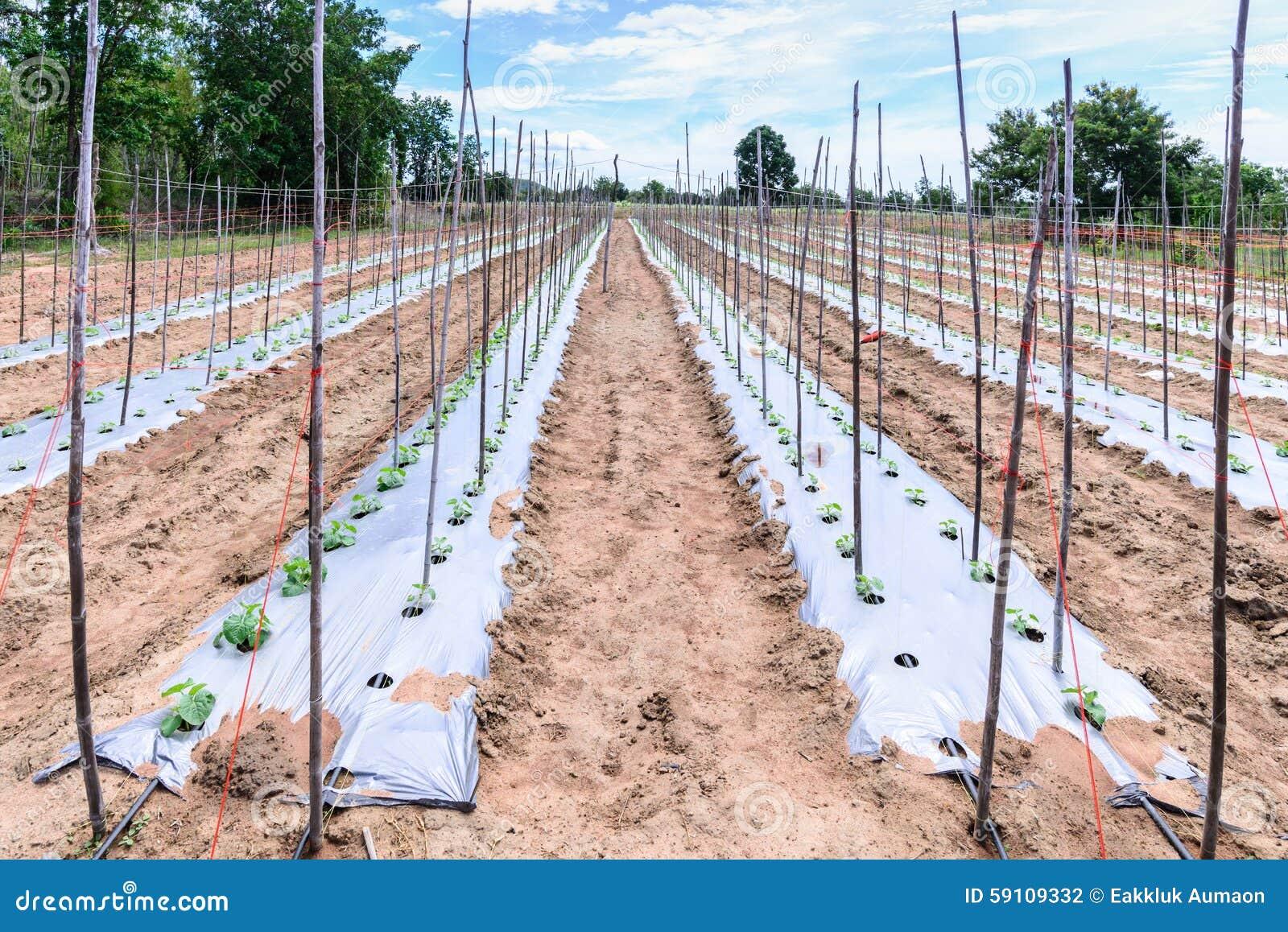 覆盖树根与塑料胶膜的年轻瓜种植园