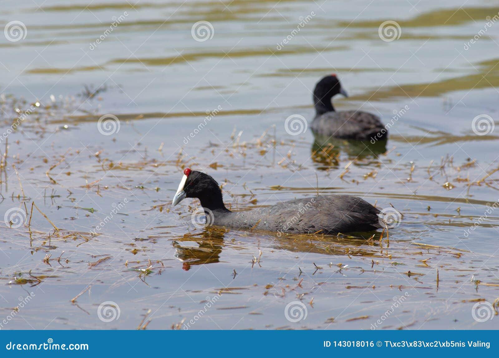 观鸟在湖Hora,埃塞俄比亚附近