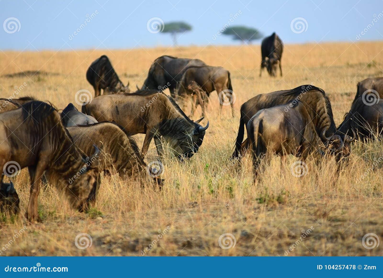 角马在肯尼亚,马塞语玛拉