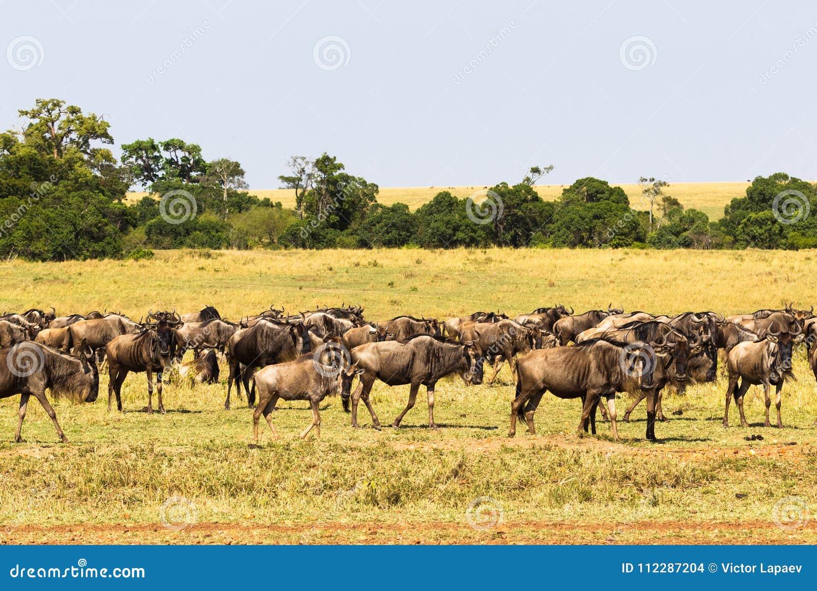 角马小牧群在大草原的 肯尼亚mara马塞语